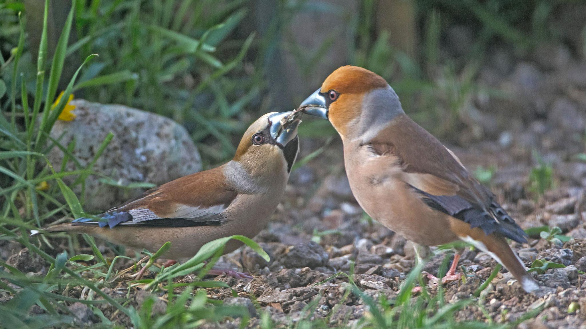 Kernbeisser (Coccothraustes coccothraustes), Weibchen wird von Männchen gefüttert