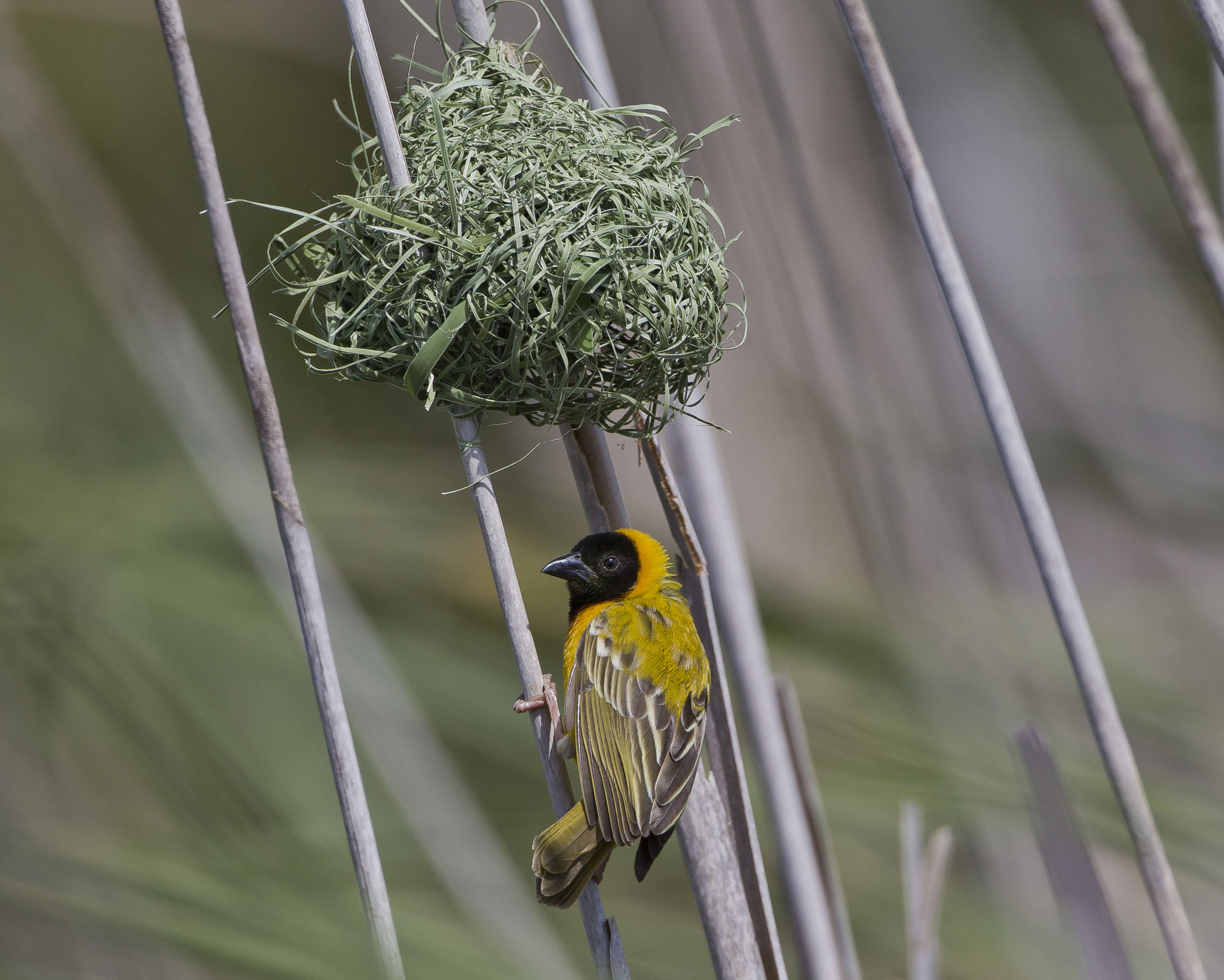 Schwarzkopfwebersind geschickte Nestbaumeister und legen mehrere Nester im Schilfgürtel an