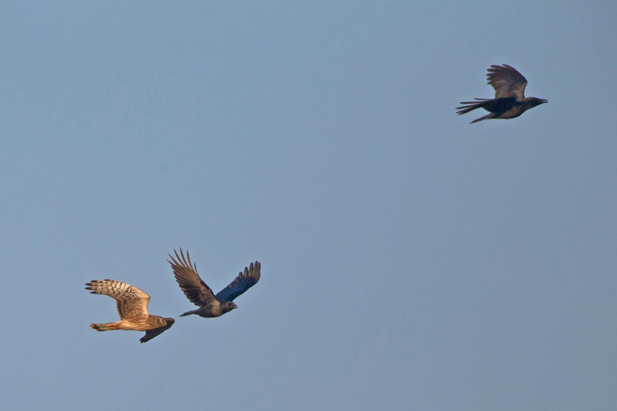 ... die den Greifvögeln das Leben schwer machen, hier einer Kornweihe