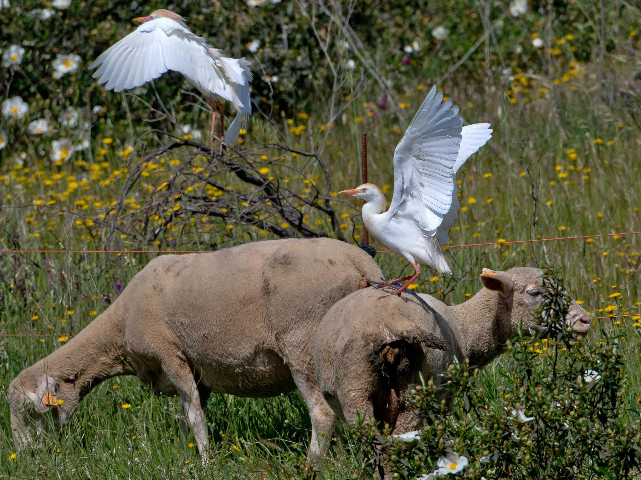 ... oder Schafe, von denen eine riesige Herde auf dem Grundstück zu Gast ist