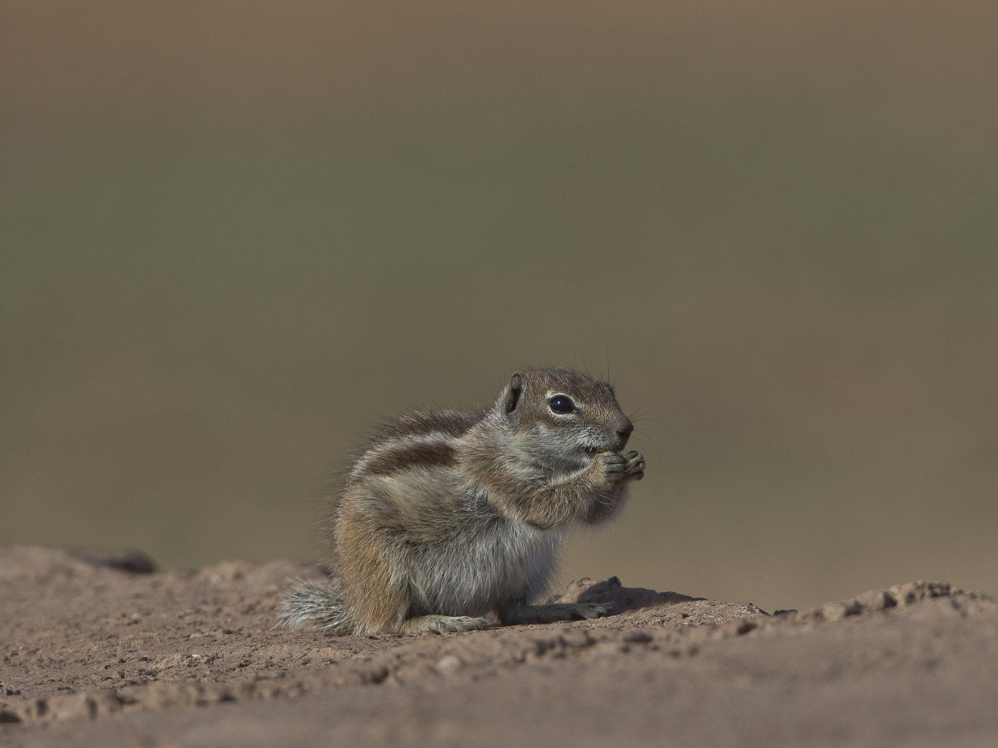 ... ausser natürlich die vielen in den Felswänden lebenden Atlashörnchen