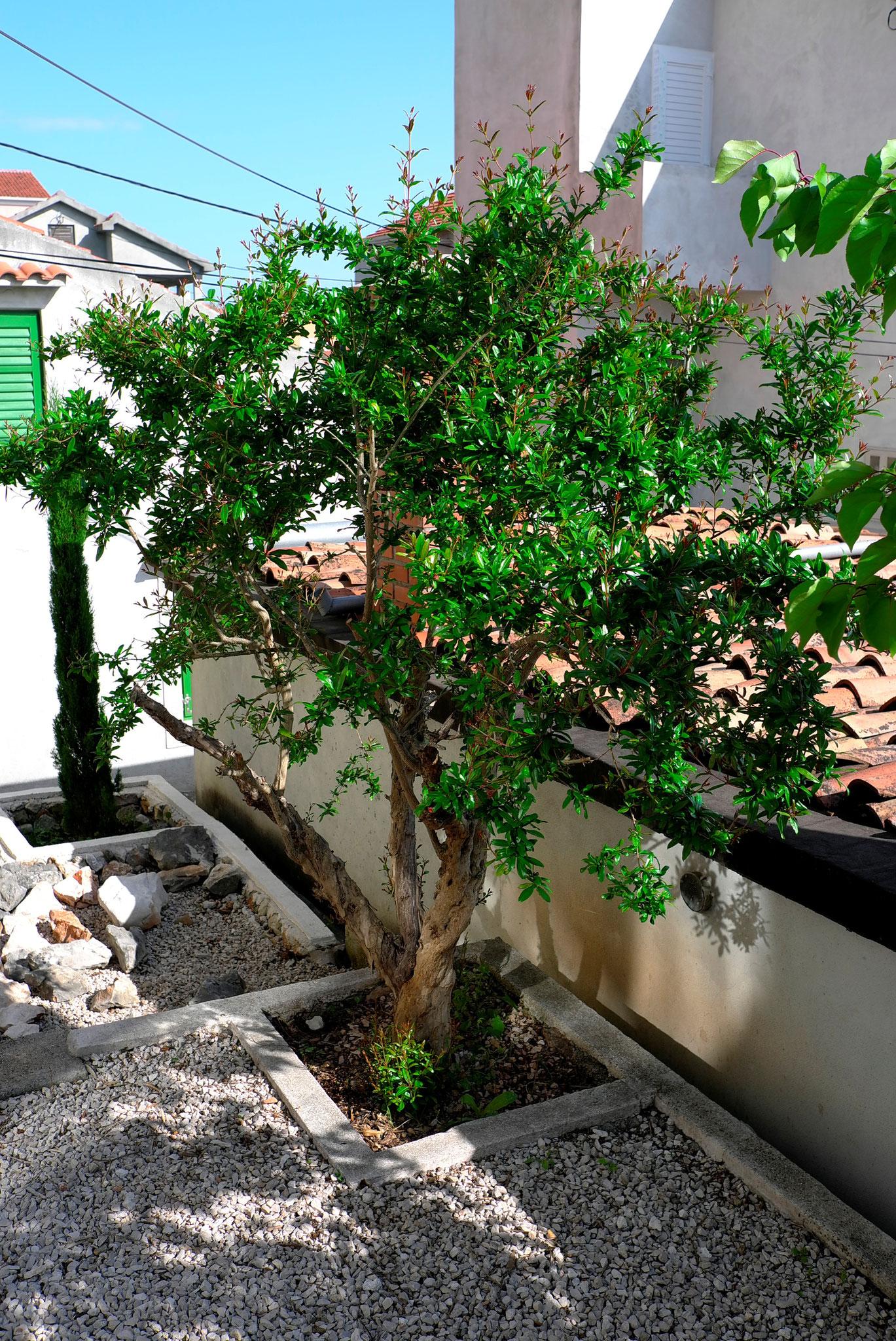 Unser Granatapfelbaum