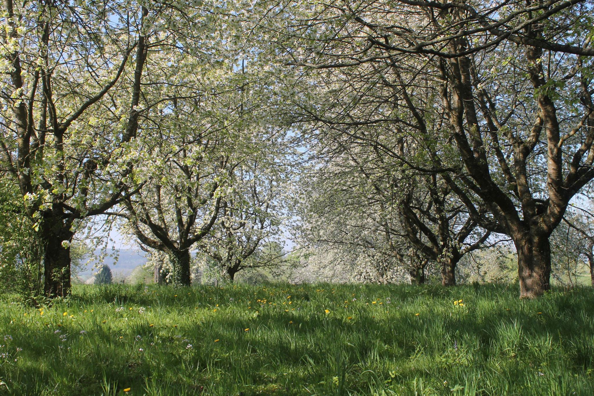 Zur Zeit der Kirschblüte