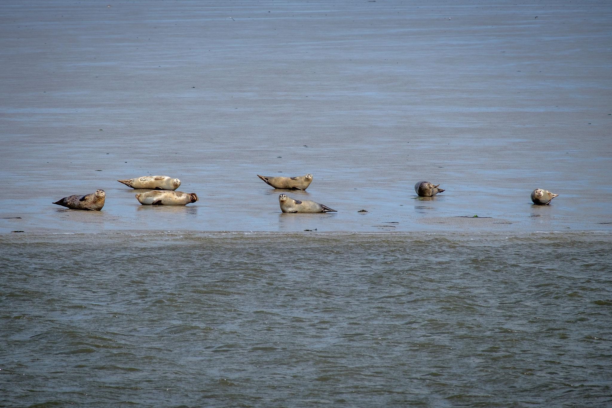 Seehundbänke vor den Halligen