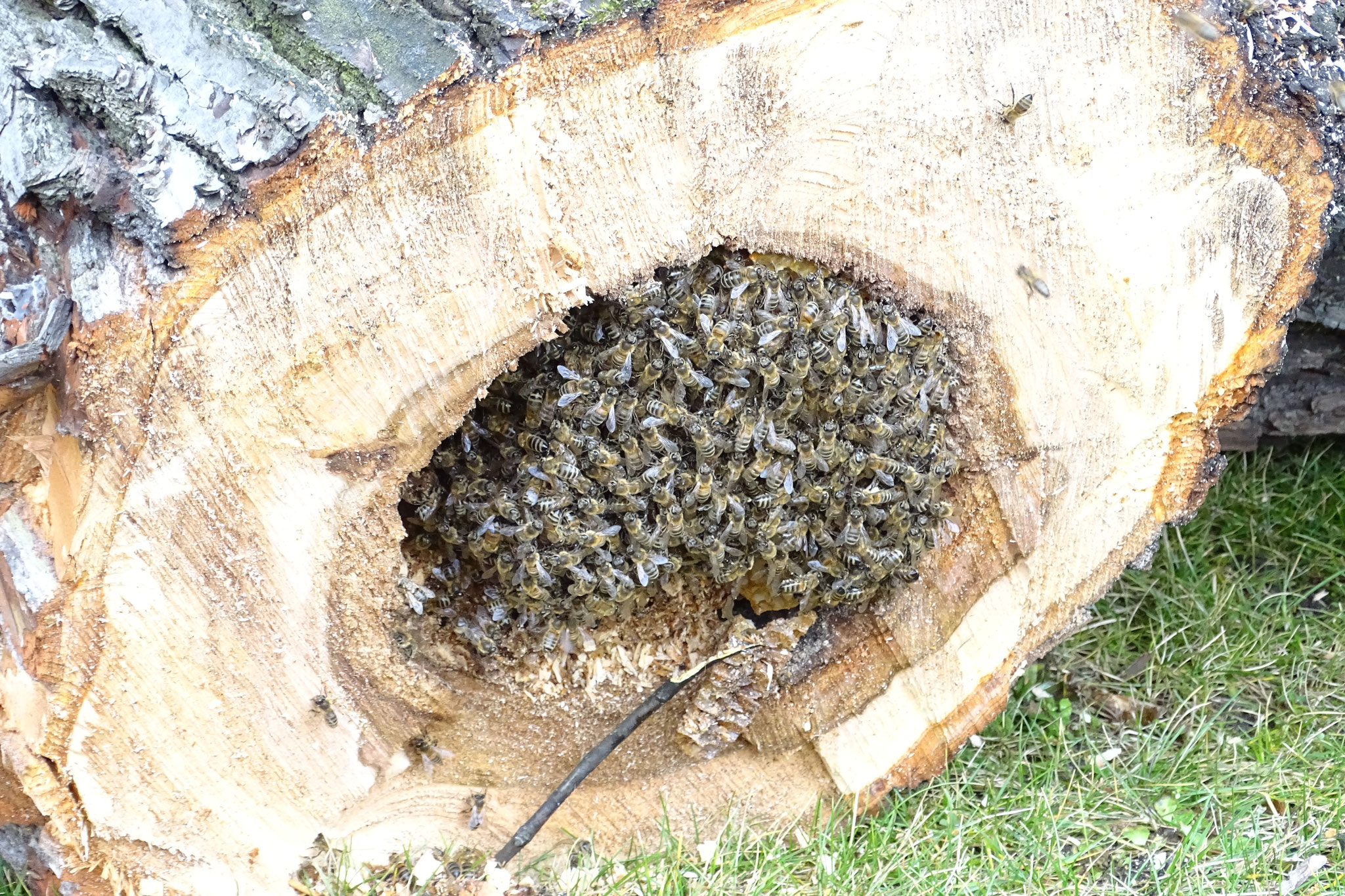 Ein Bienenstaat im Januar. Die stechen auch im Winter.
