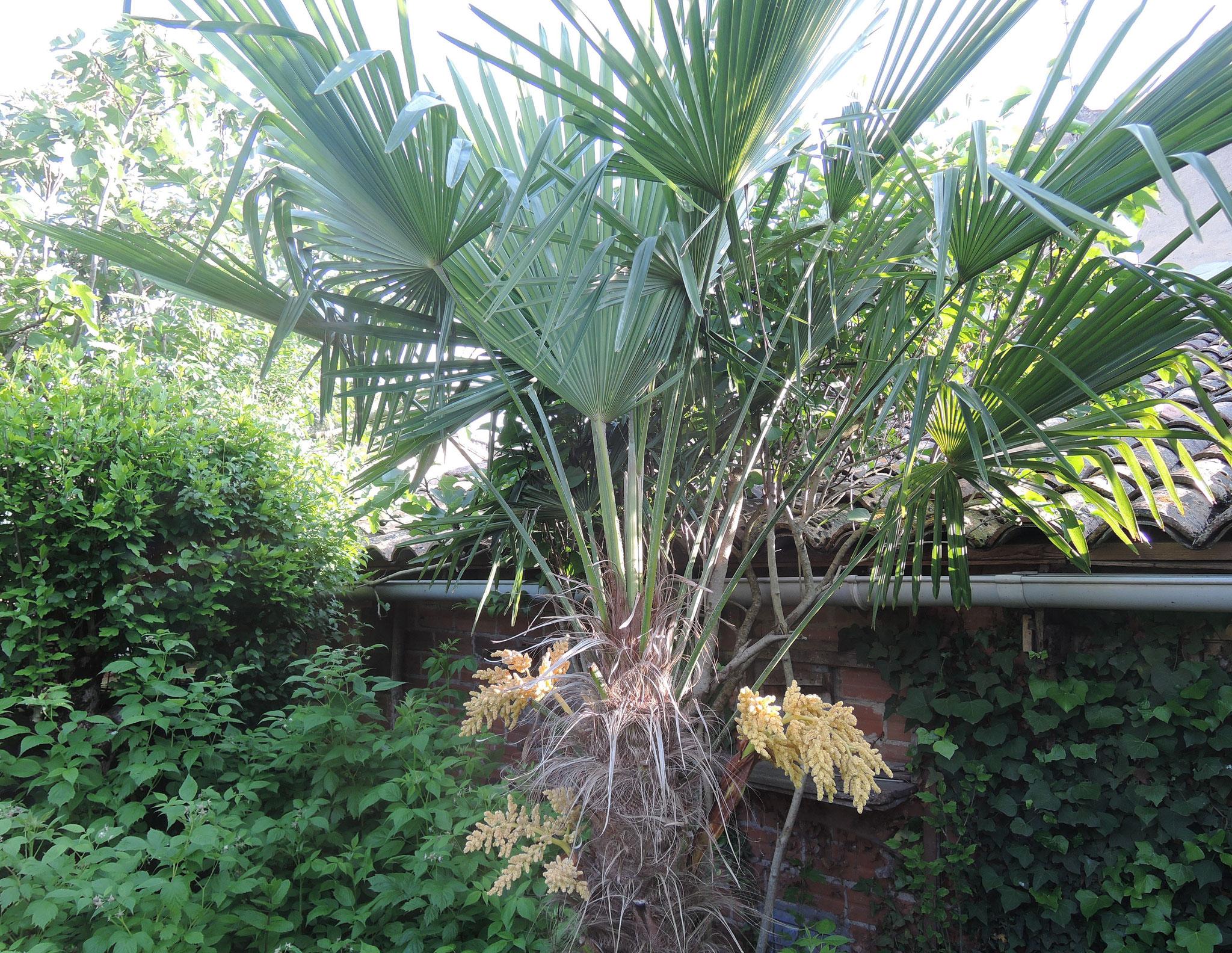 palmier nain en fleur