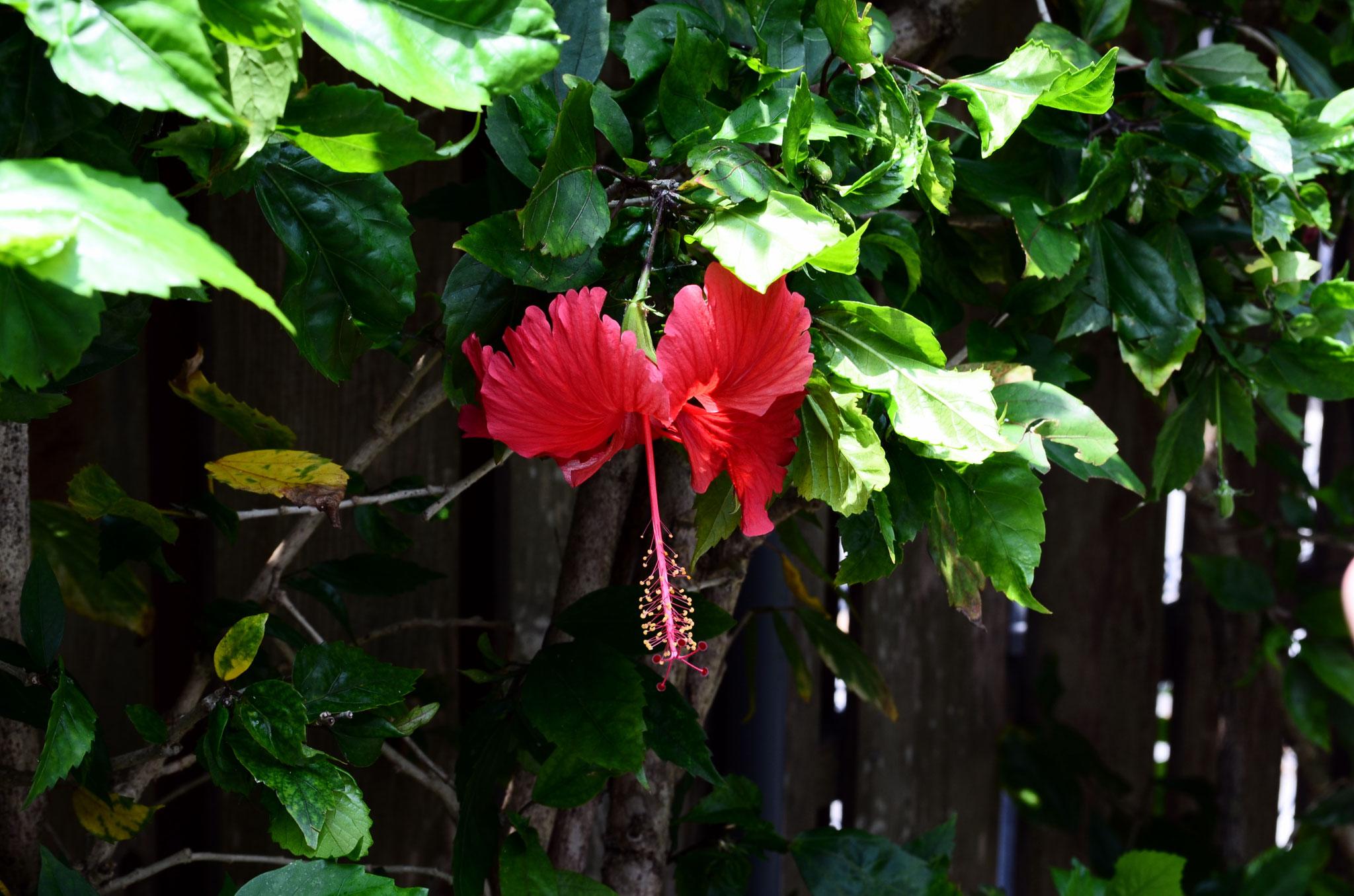 Karate Geschichtstour – Hibiskusblüte liebevoll Akabanaa in Okinawa genannt