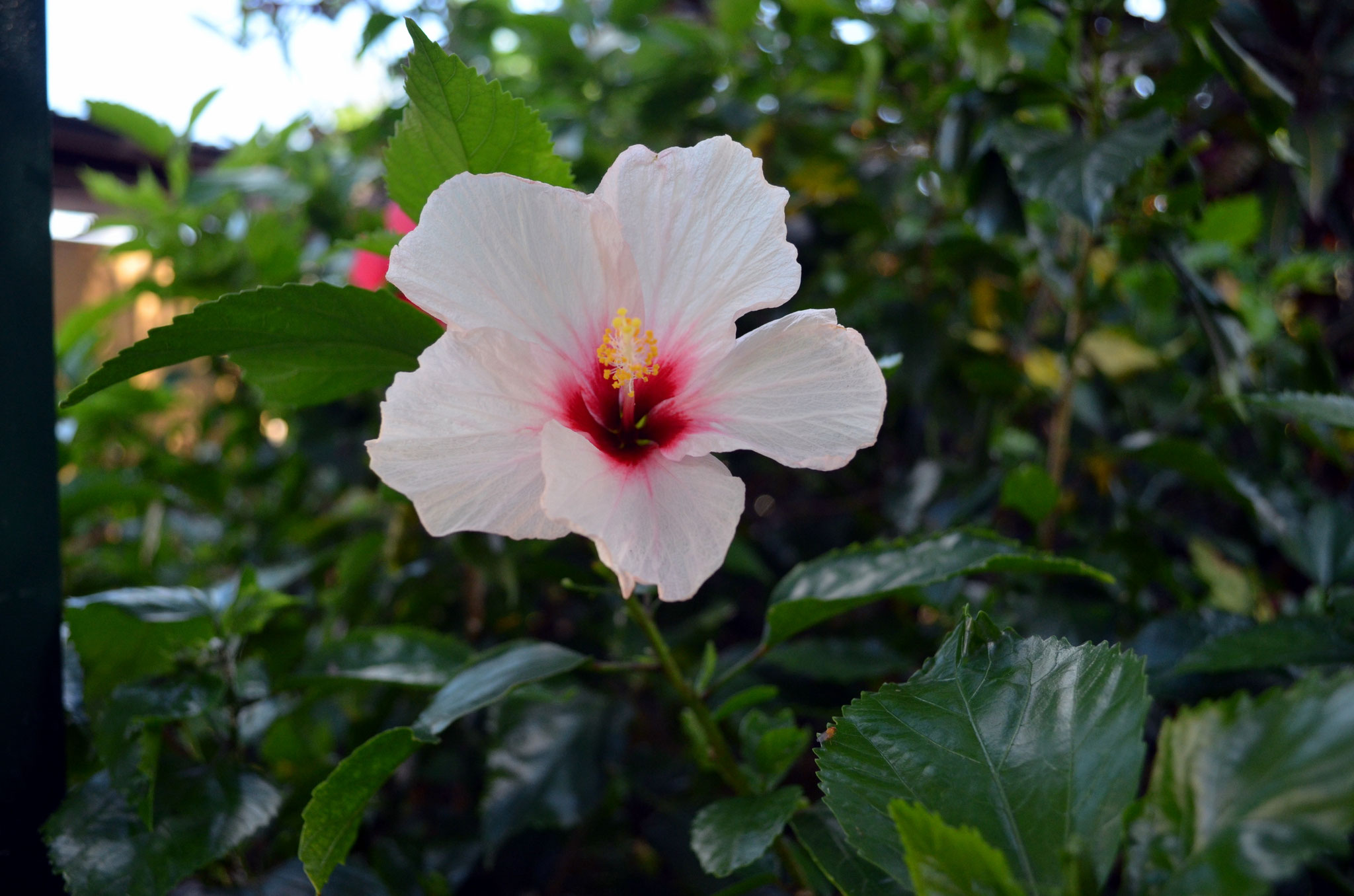 Okinawa World – Hibiskus überall auf Okinawa beliebt