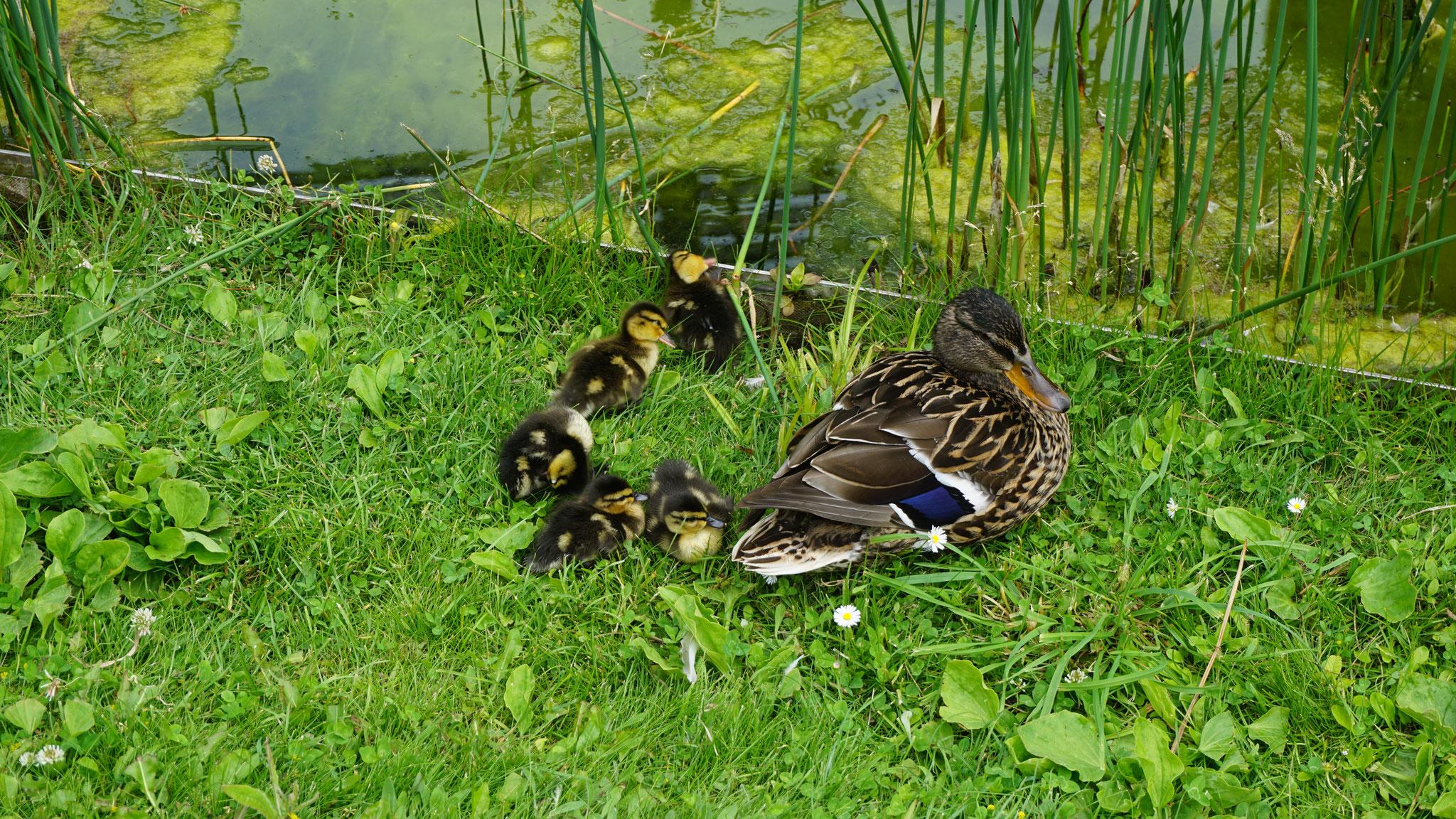 Die Entenfamilie am Teich vom Amtsgericht Würzburg