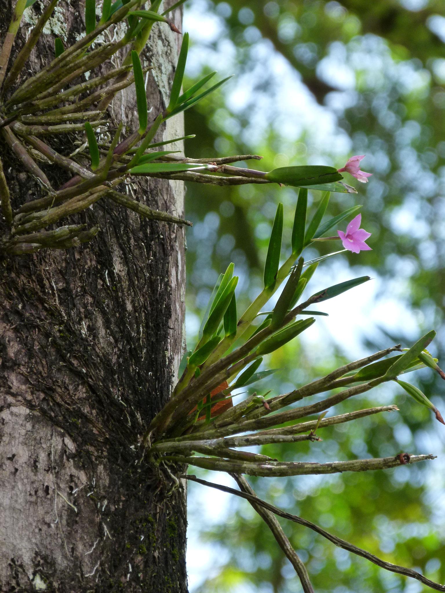 Orchidée Epiphyte