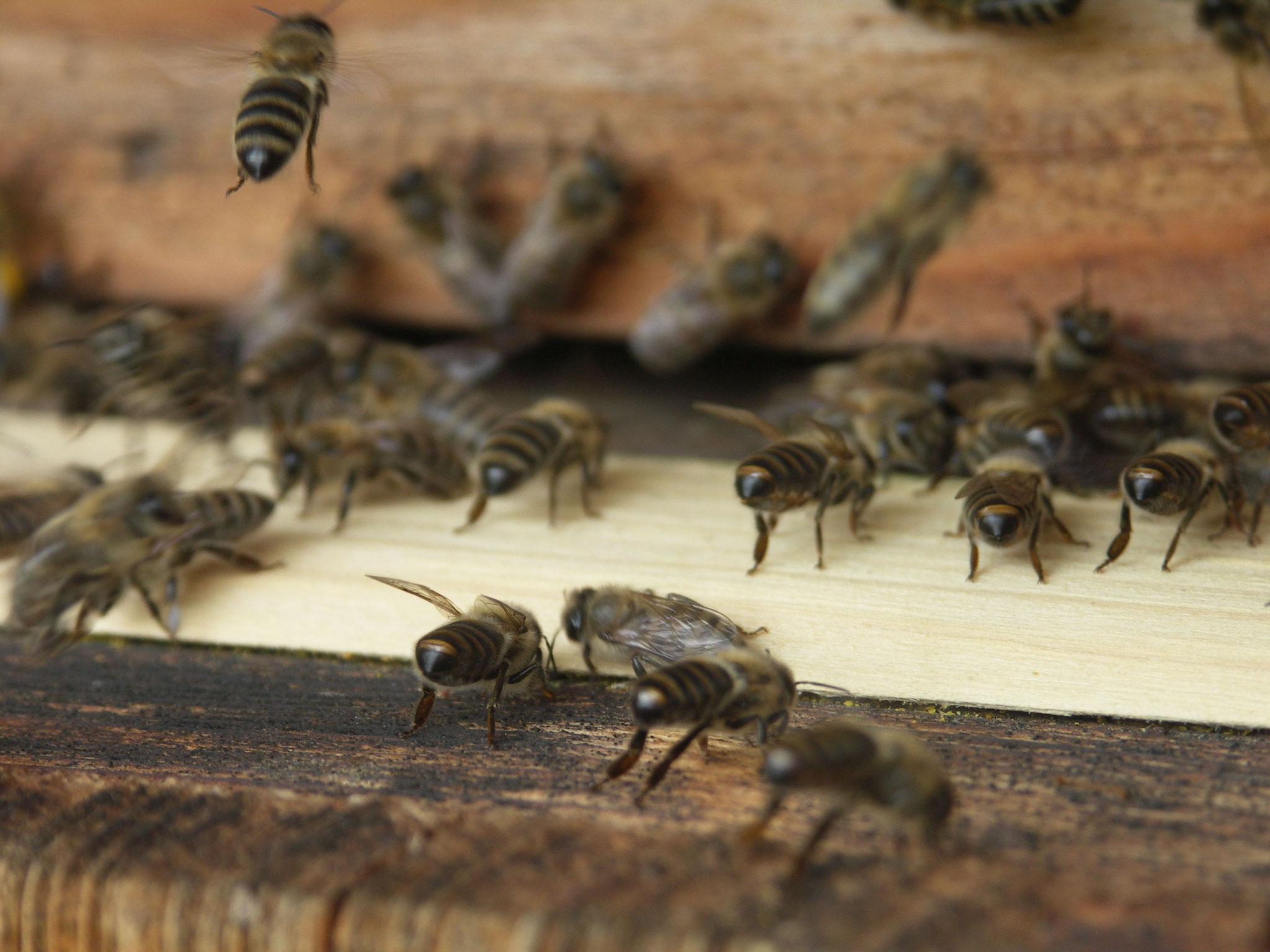 Bienen am Einflugloch