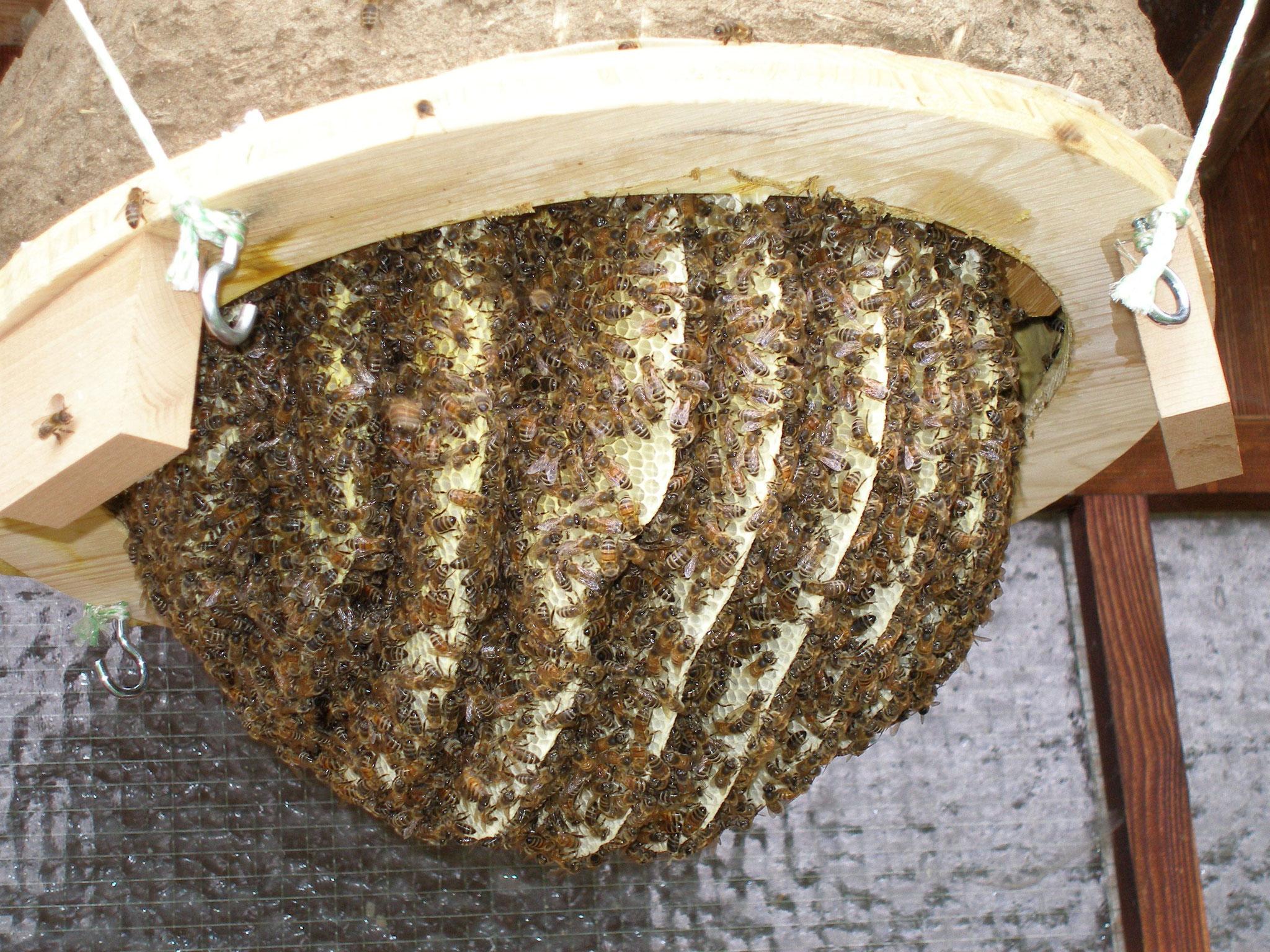 natürliche Honigwaben mit Bienen