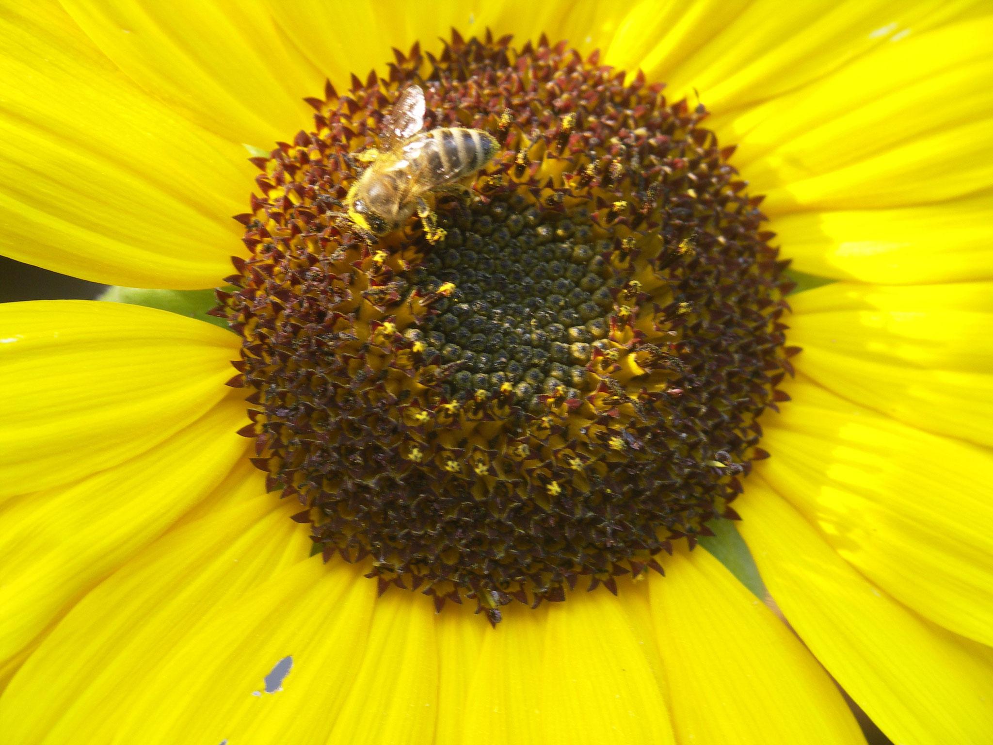 Biene sammelt  Blütenstaub