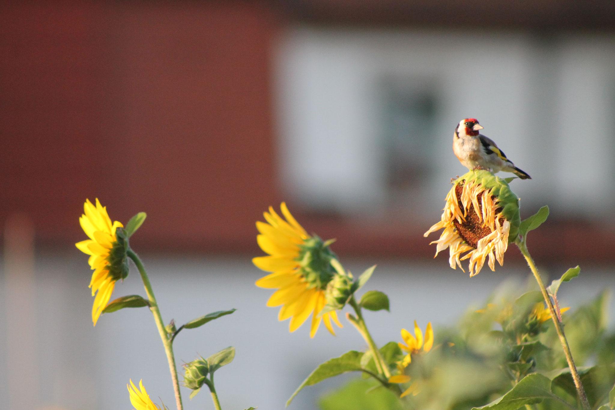 Eine große Vogelvielfalt, auch dem Stieglitz, bieten wir Futter