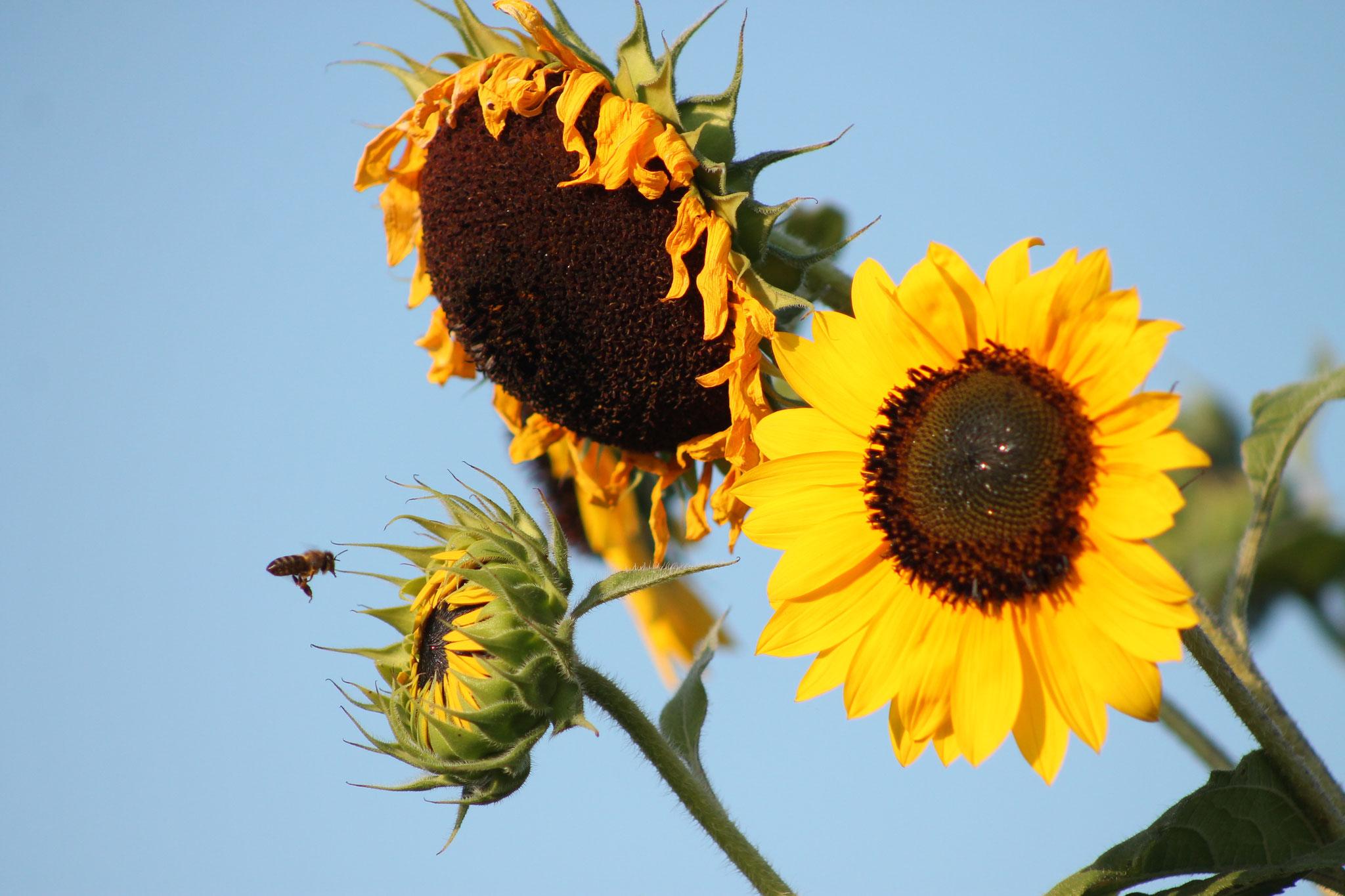 Bienen, auch Wildbienen sind unsere Gäste