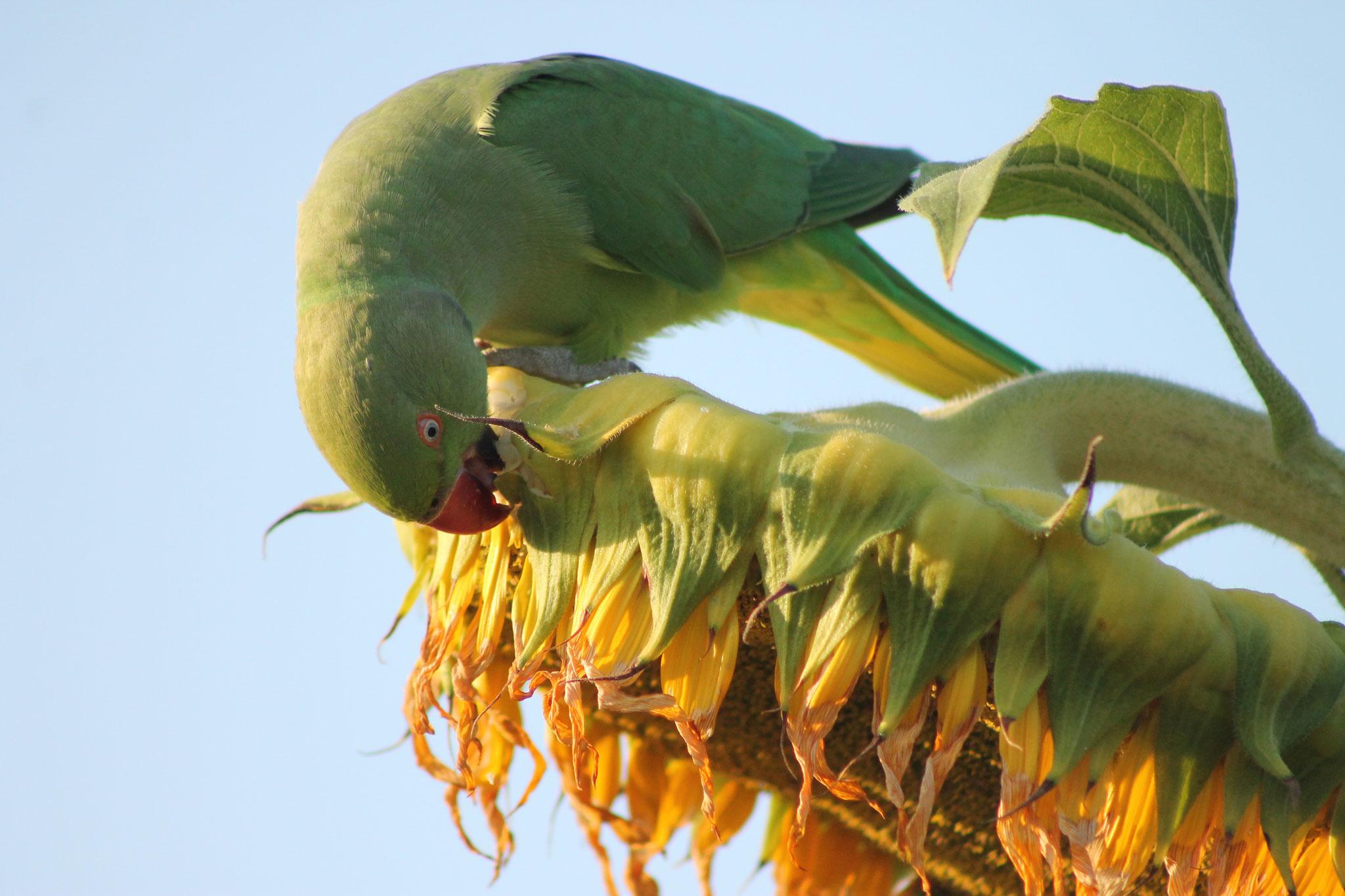 Halsbandsittiche freuen sich besonders über die Sonnenblumen