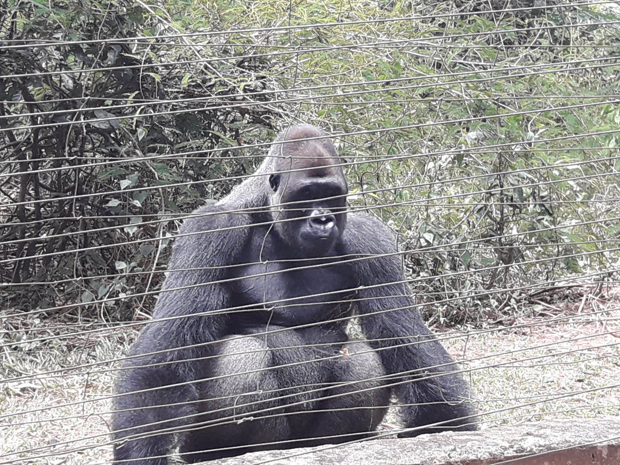 Gorila en recuperacion