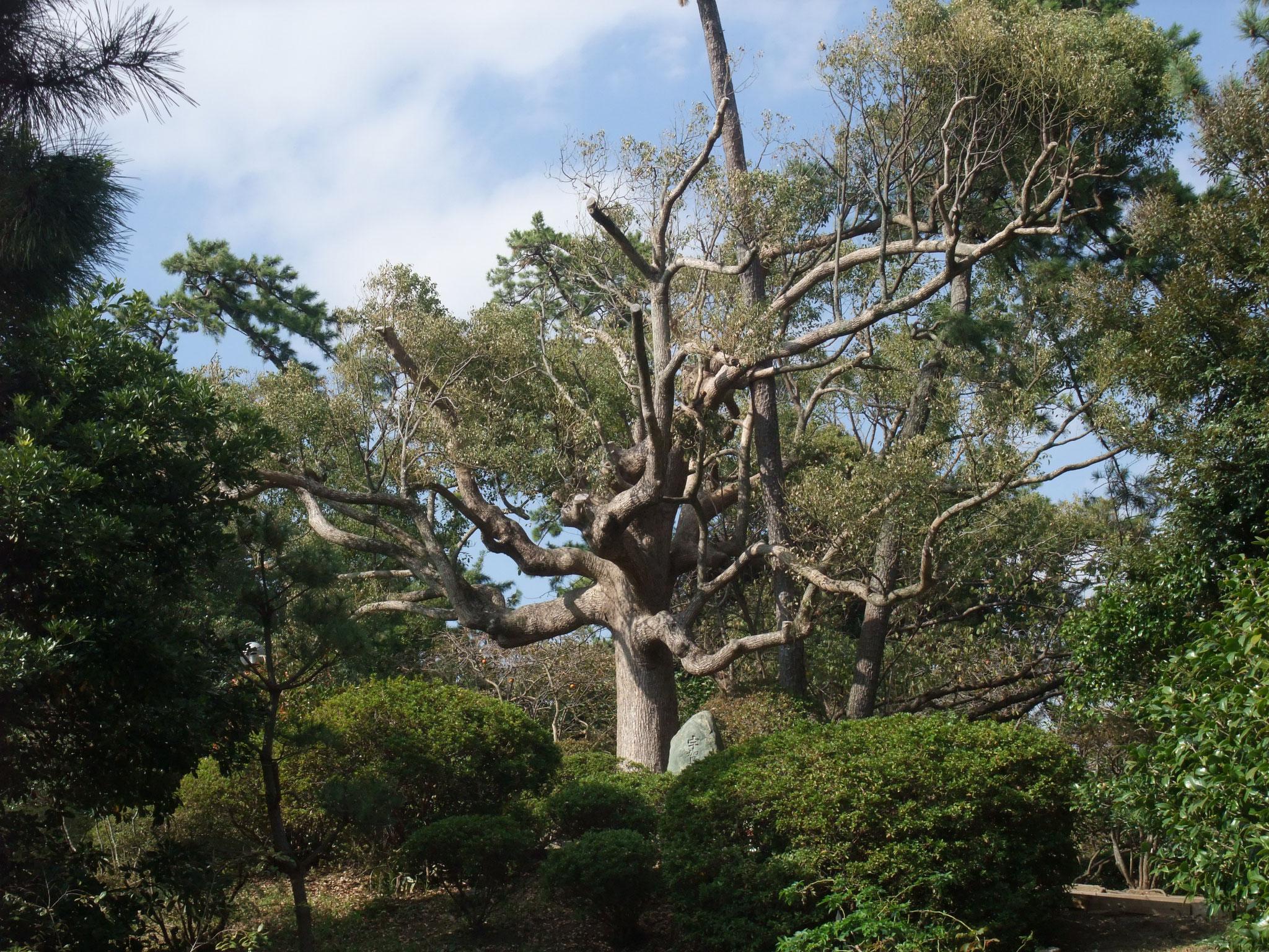 旧陸奥宗光邸に向かう庭園にある千手観音のごとき枝振りの大楠木は大迫力