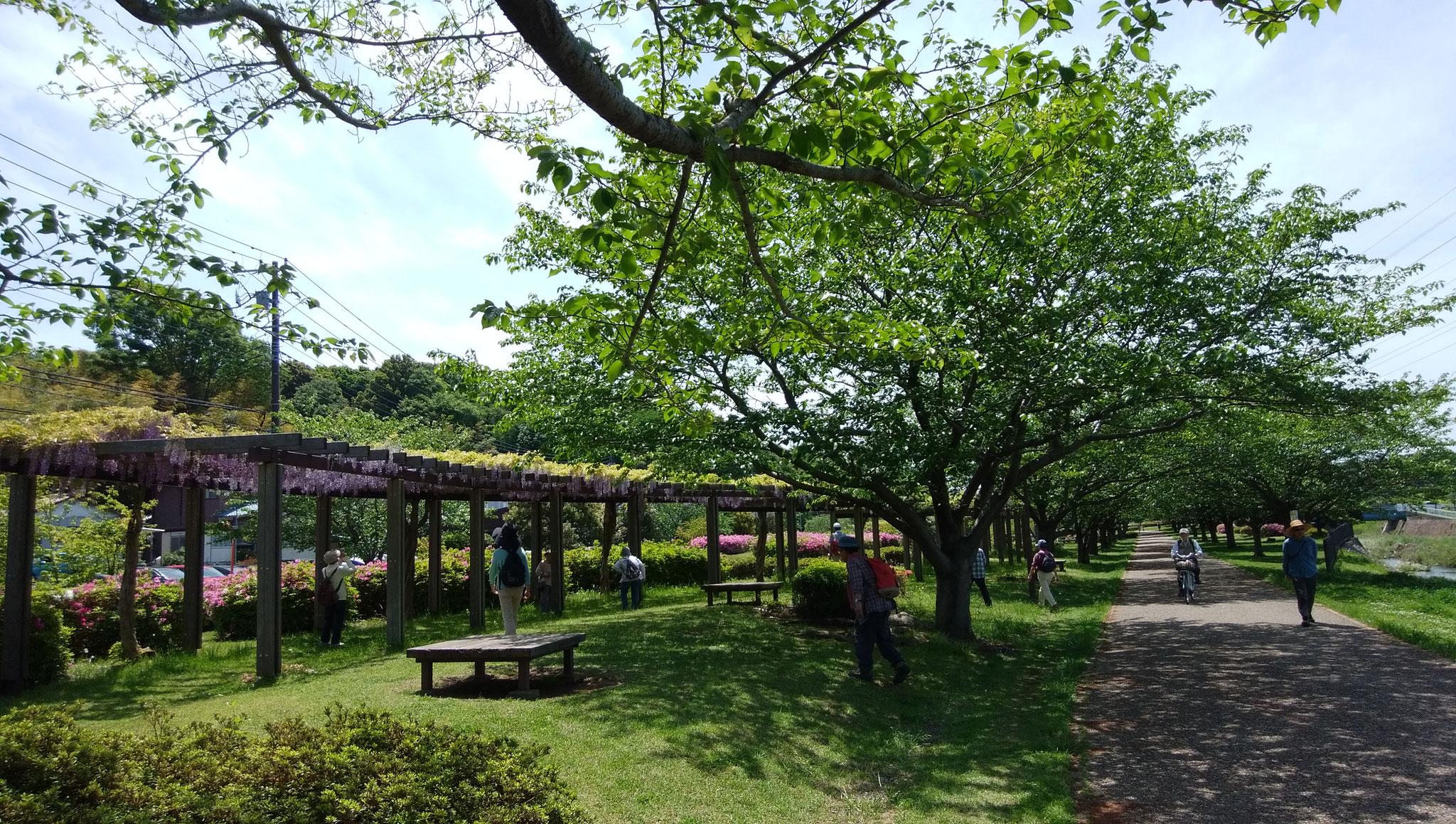引地川親水公園の藤棚