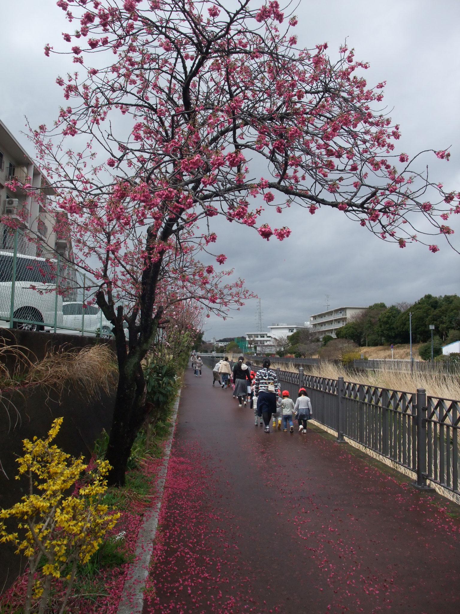寒緋桜とレンギョウ