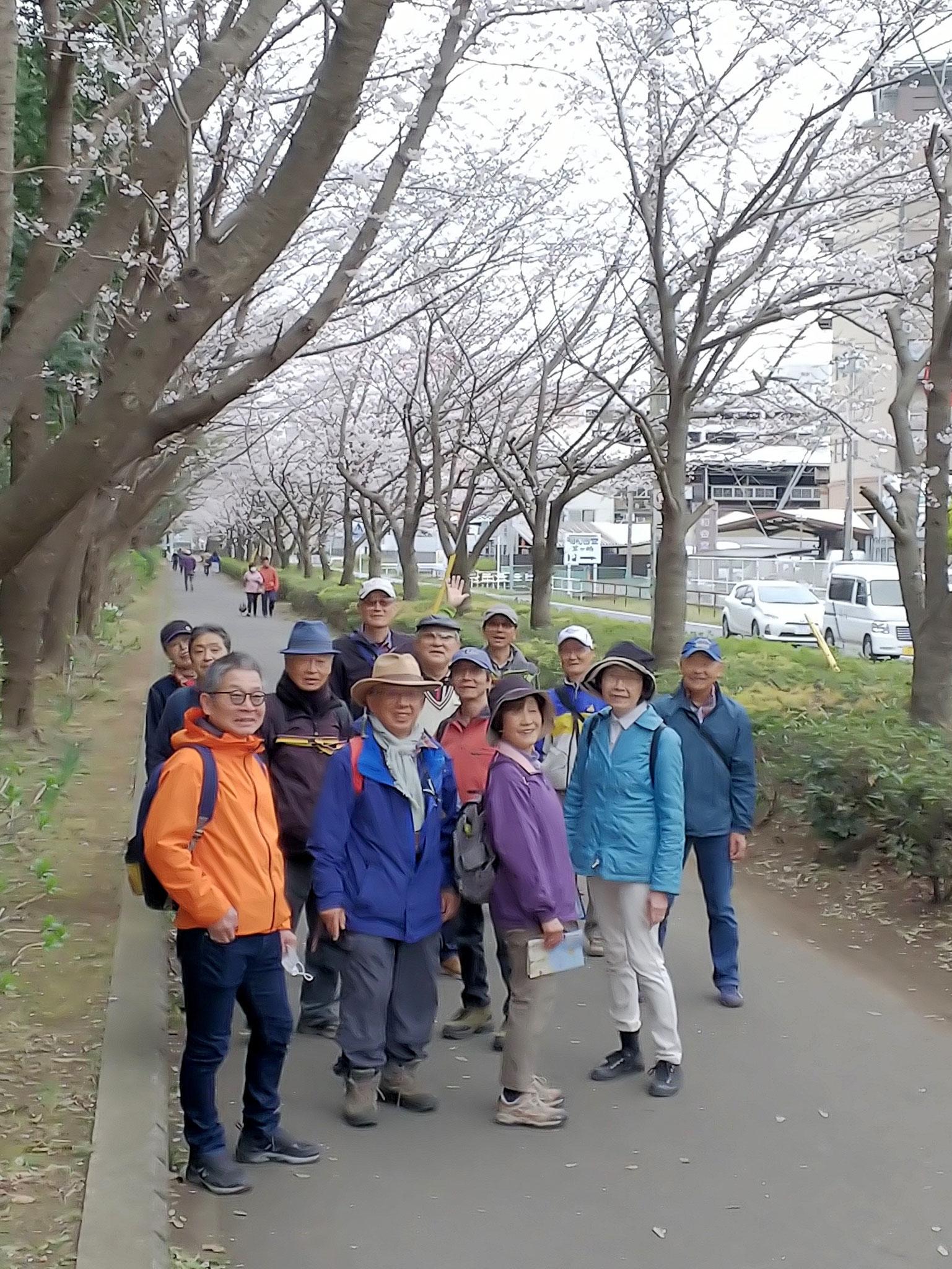 中央公園脇の桜並木 5~6分咲き