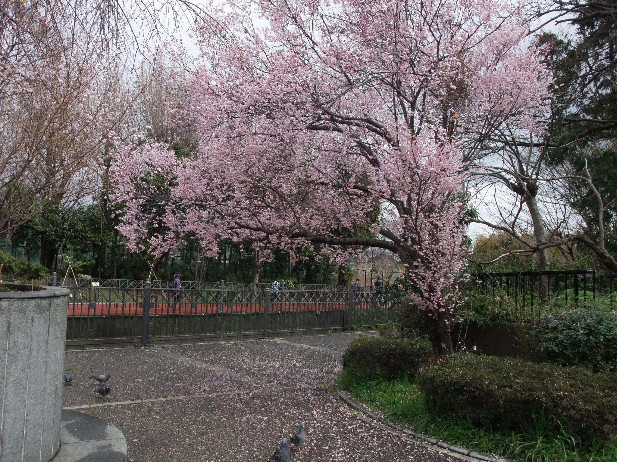 いたち橋のたもとの桜がきれい