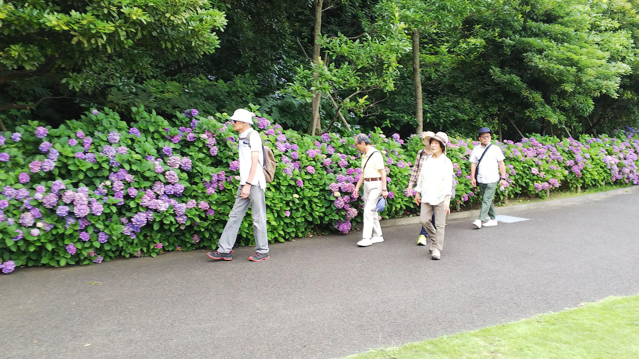 美術館屋上 山の広場の紫陽花