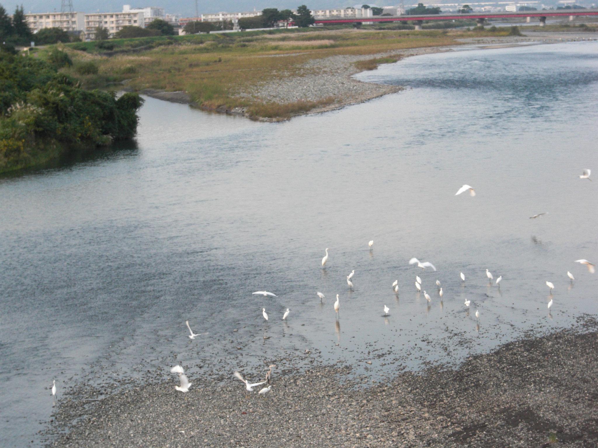 酒匂川で白鷺に佇む