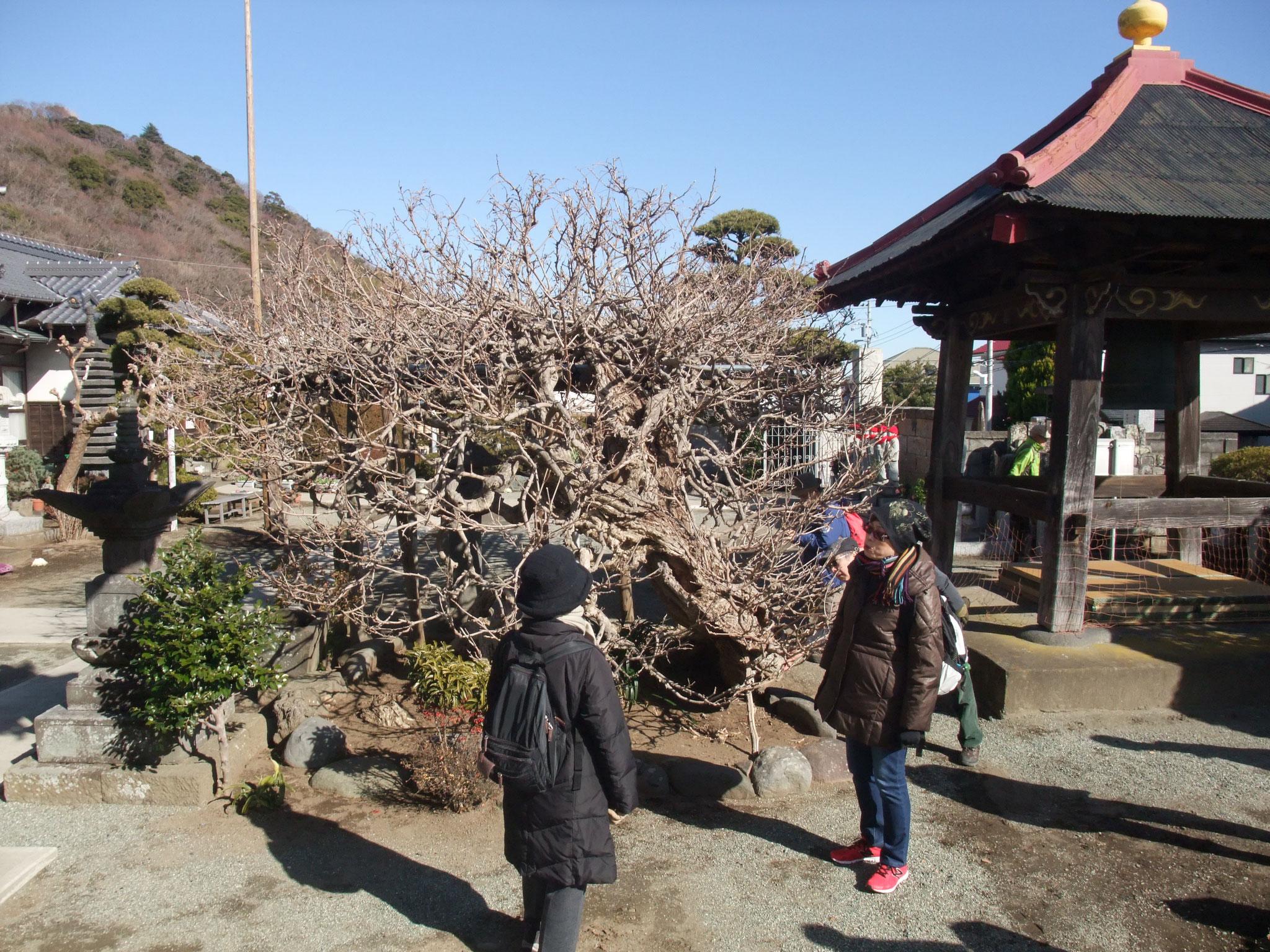 等覚寺のふじの古木