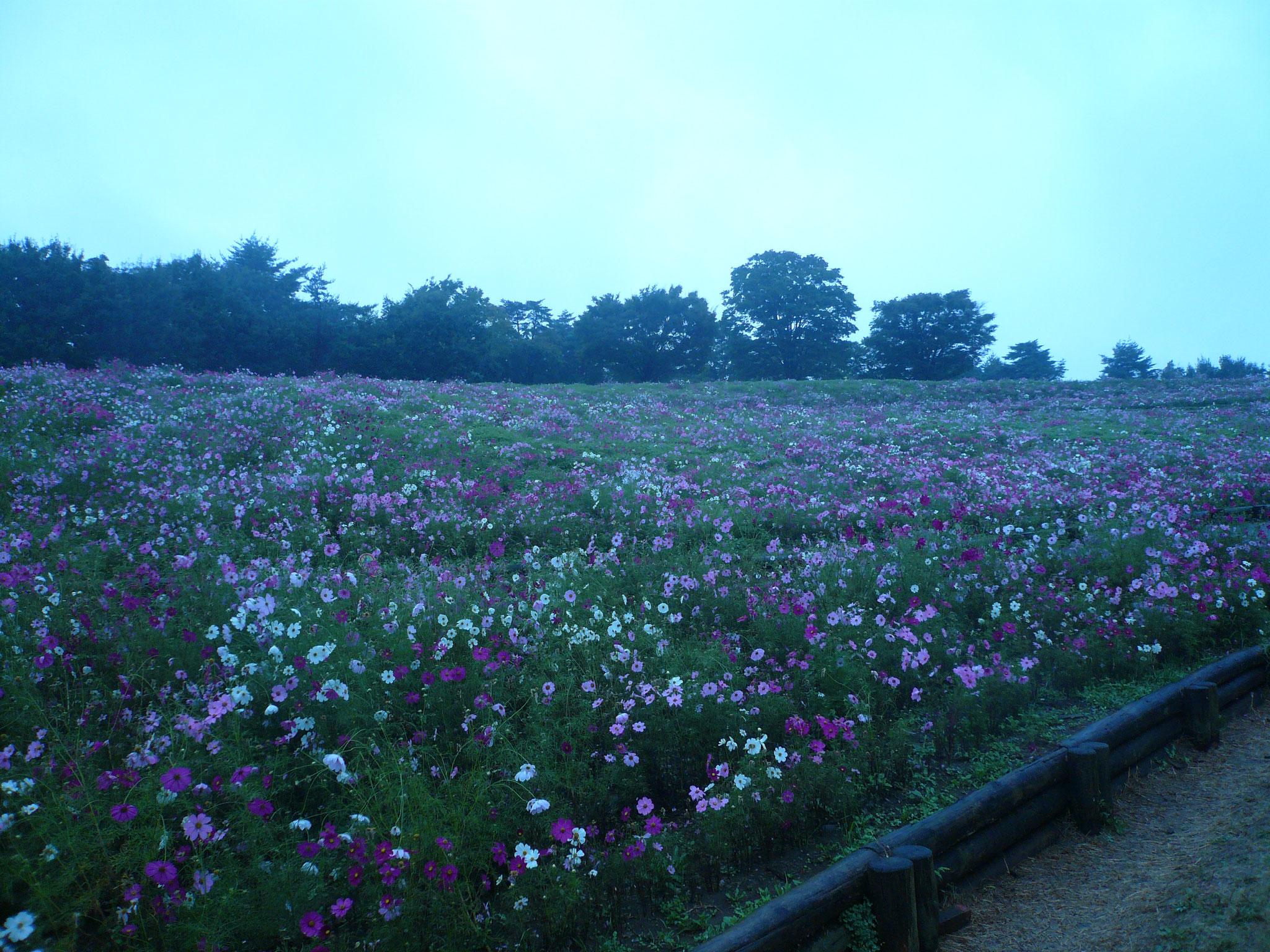 昭和記念公園の見事な秋桜