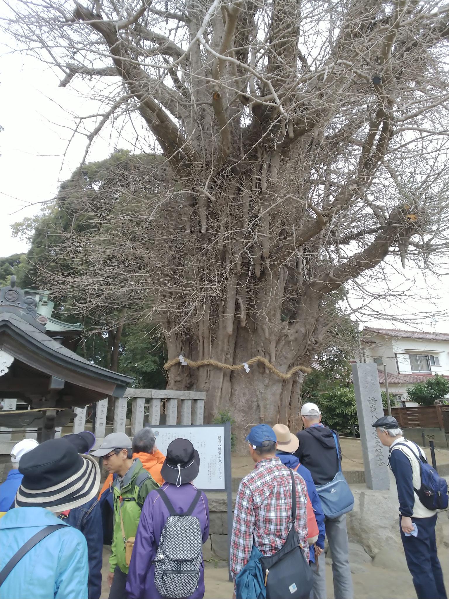 樹齢900年以上 神奈川銘木100選の大イチョウ 社殿の裏には夫婦くすのきがある