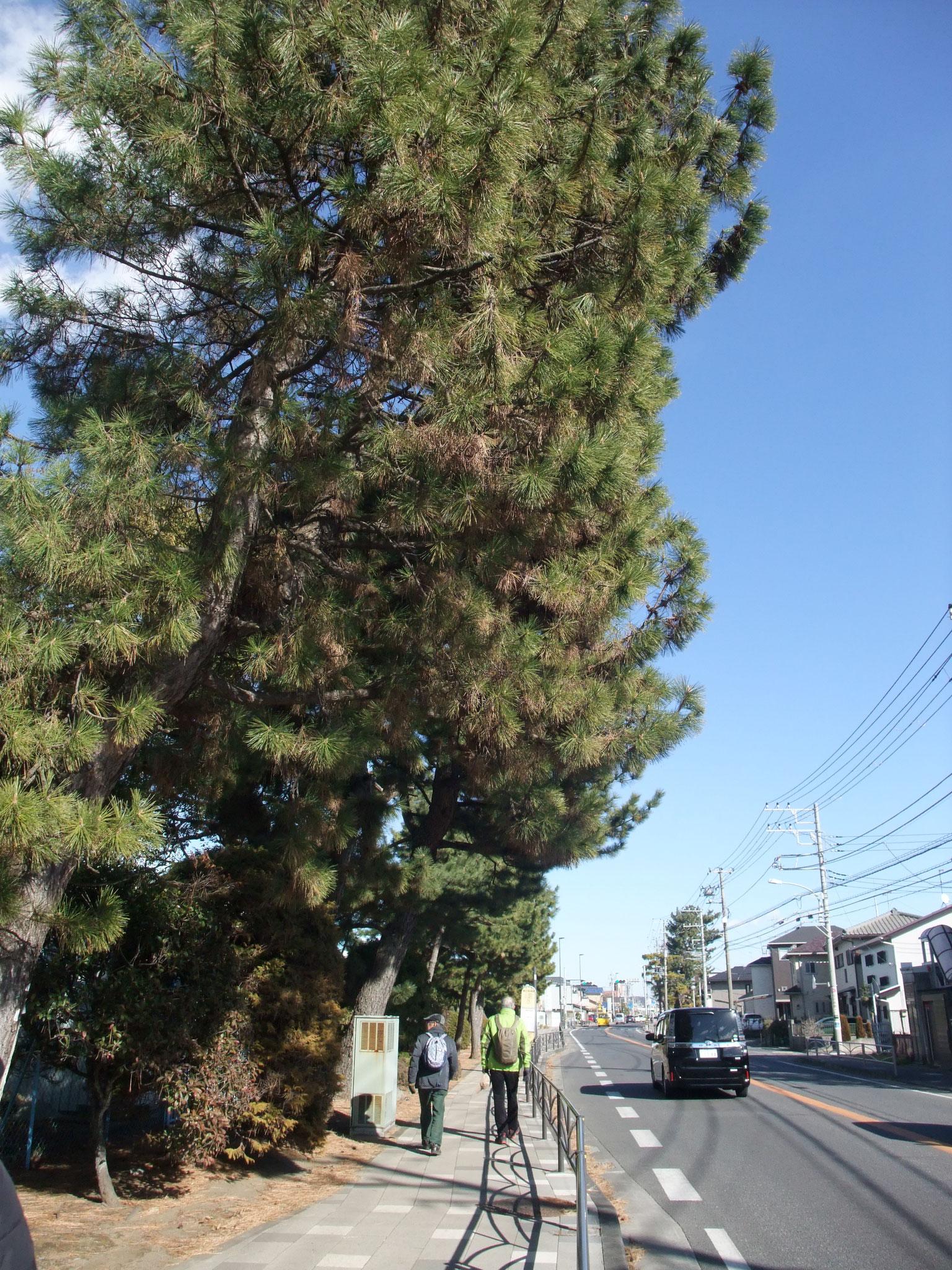 東海道名残の松並木