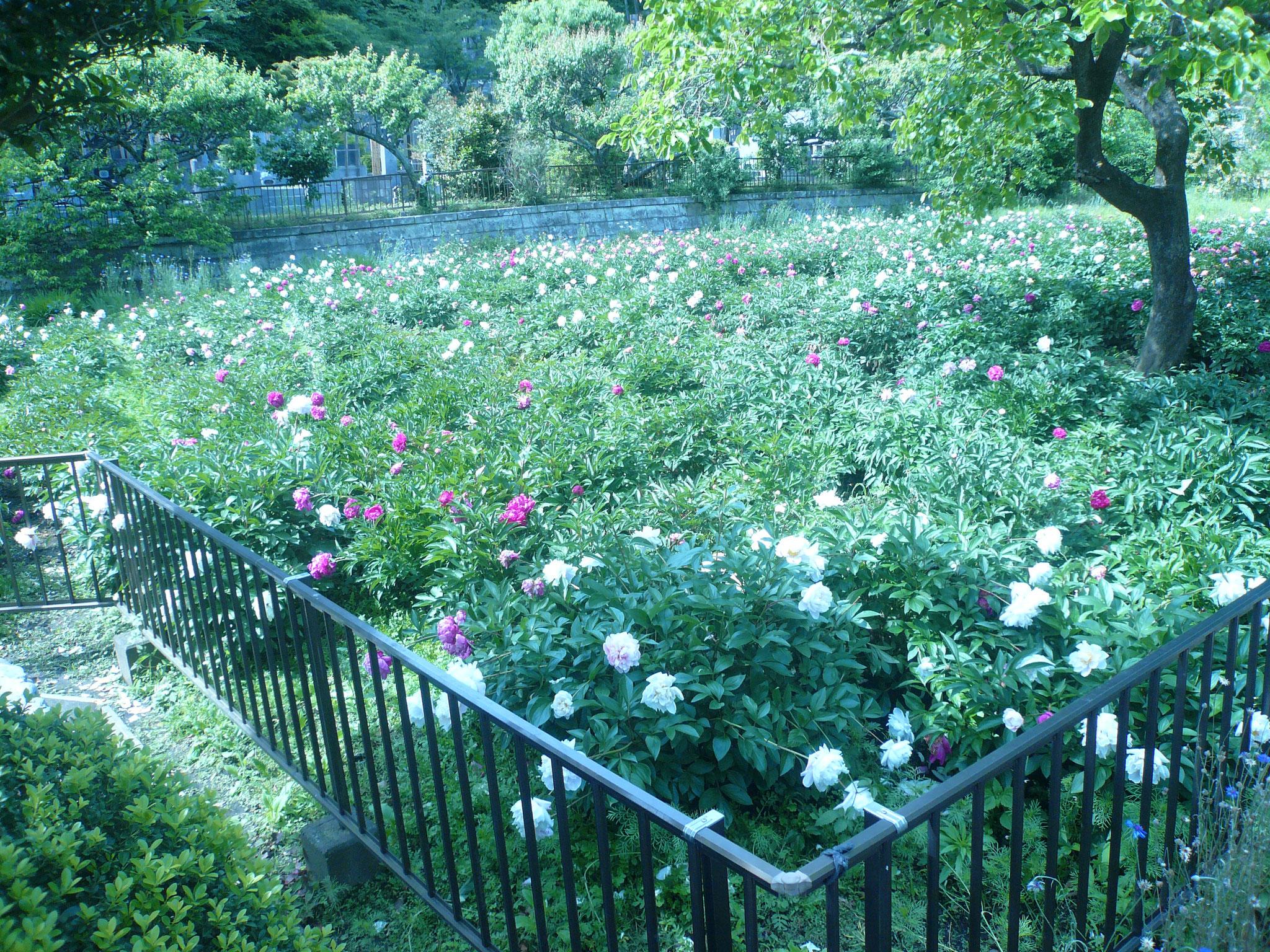 龍寶寺の美しい庭園の花に目を奪われる
