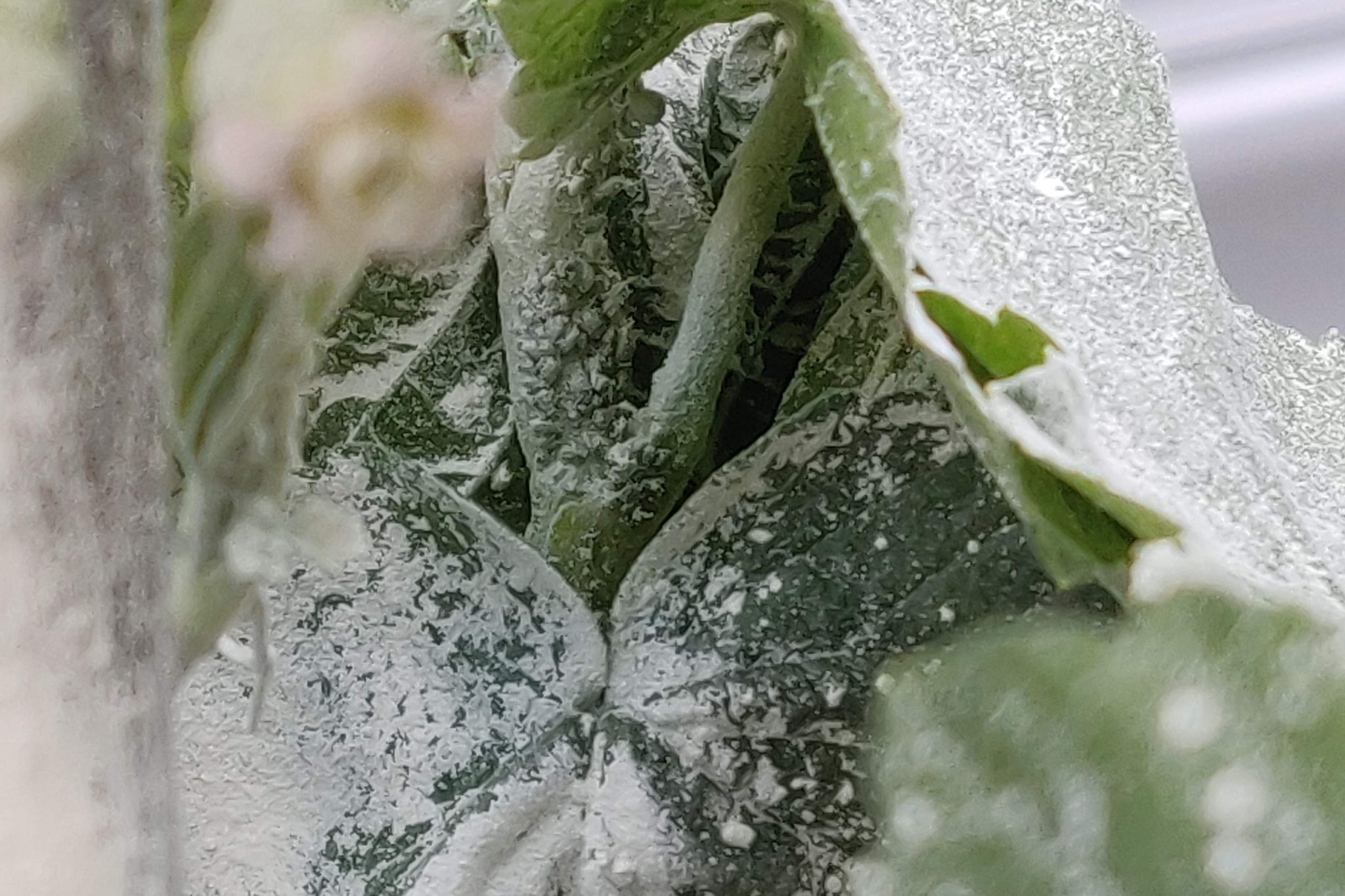 Treatment of aphids with KE-mineral. One tablespoon of KE-mineral was placed on a plate and blown by mouth onto the affected area.