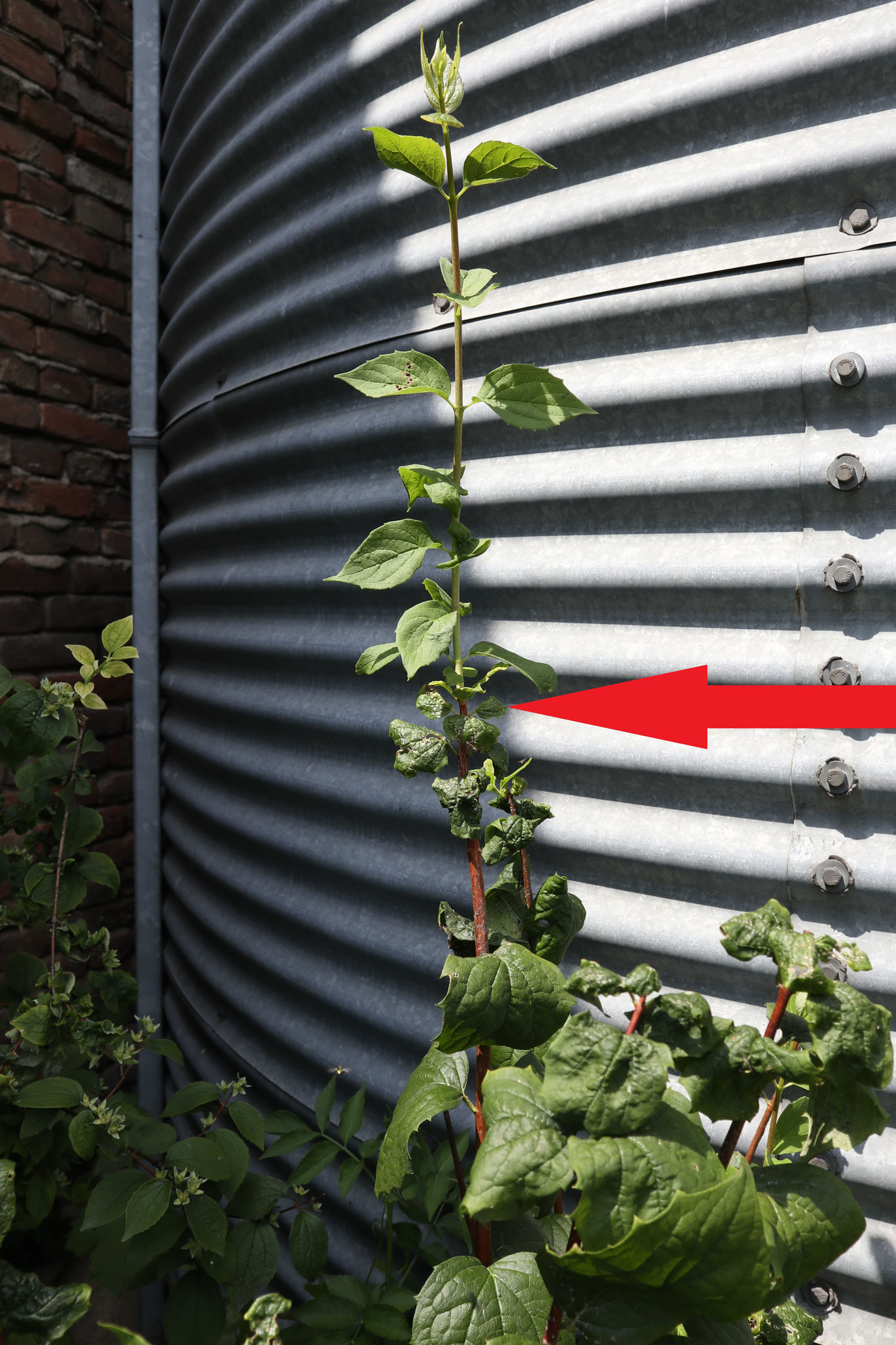 This plant had problems with insect pests. The red arrow marks the place where the treatment with KE-plant and KE-mineral was applied.
