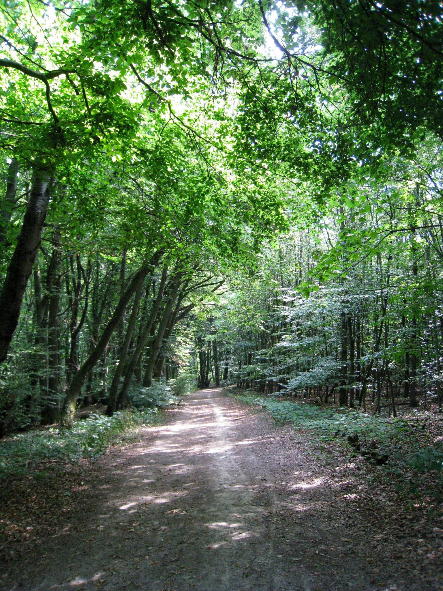 Buchenwälder im Schweichler Berg