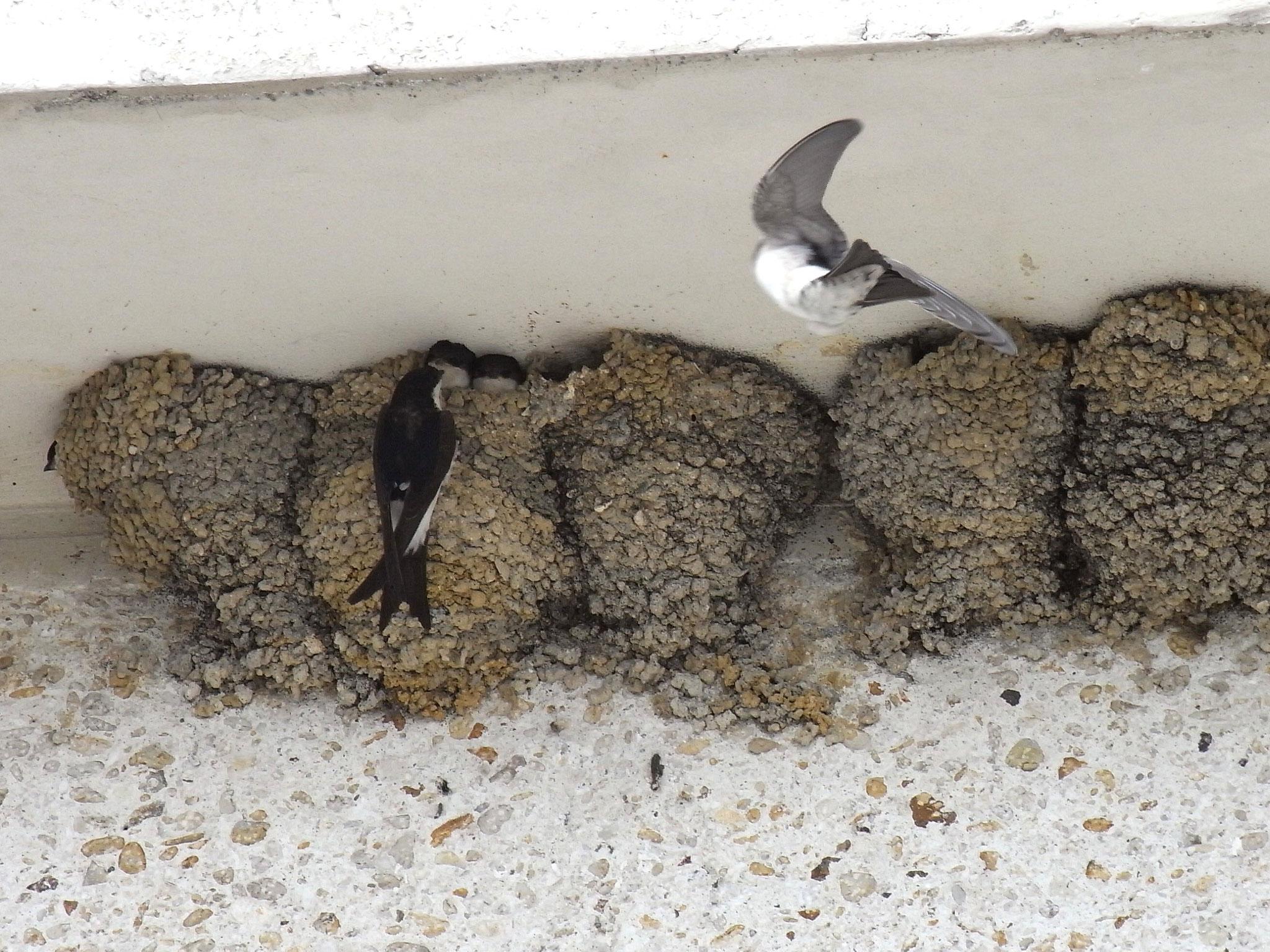 April 2019 - bald sind sie wieder bei uns, die Mehlschwalben...