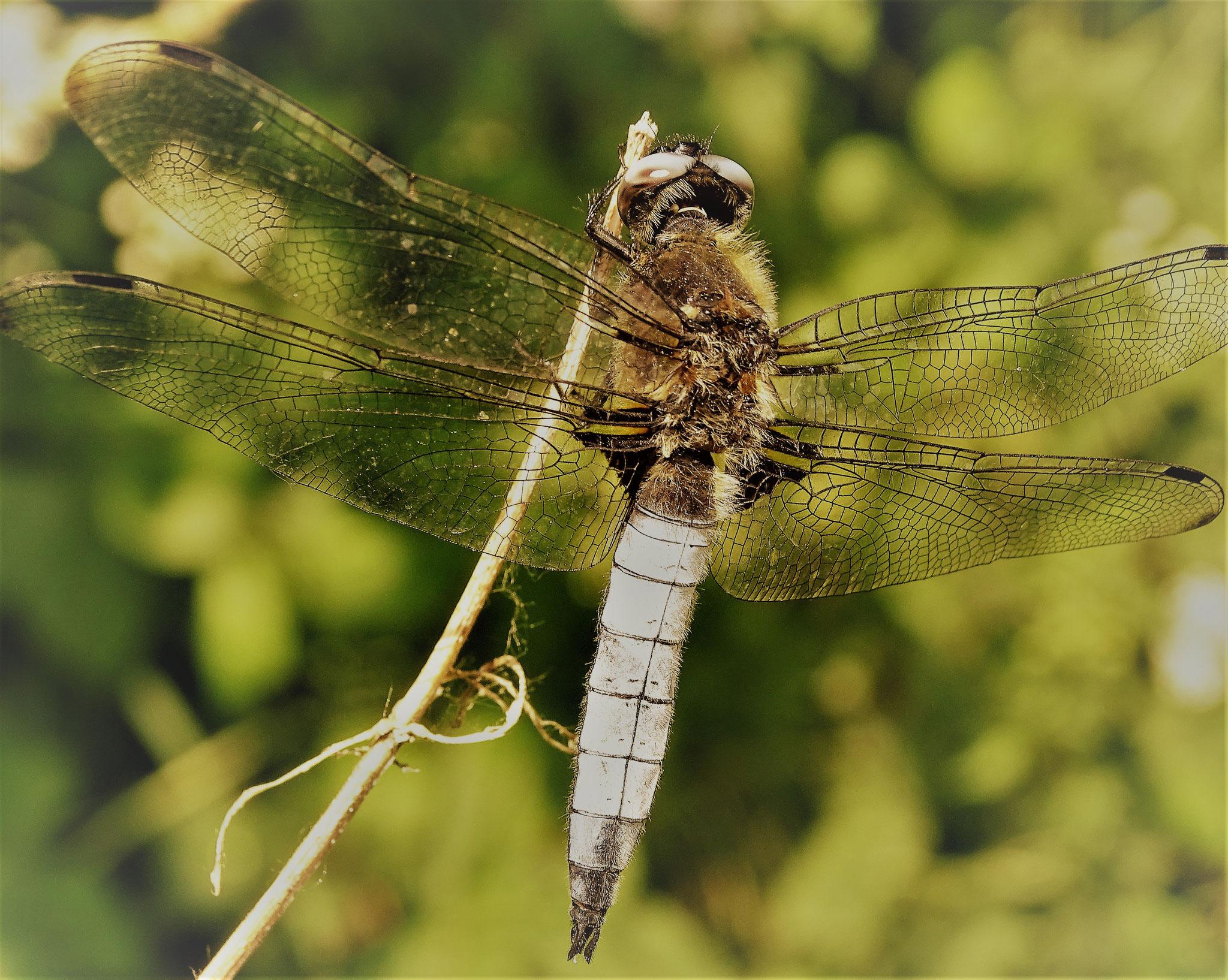 Juni 2020 - Libellen - die wahren Flugakrobaten (Foto: NABU Büttelborn [ck])