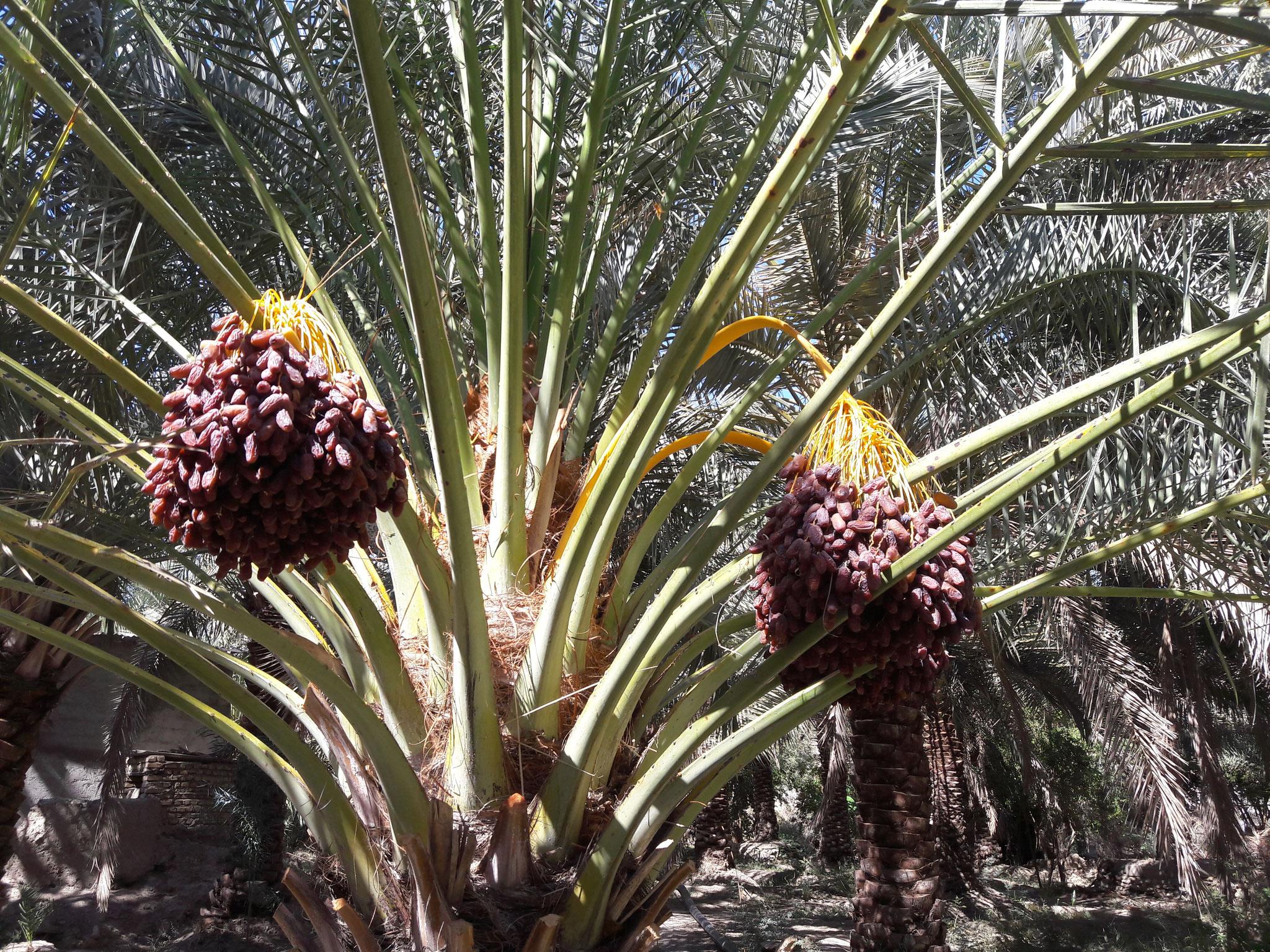 Piarom Palm Tree
