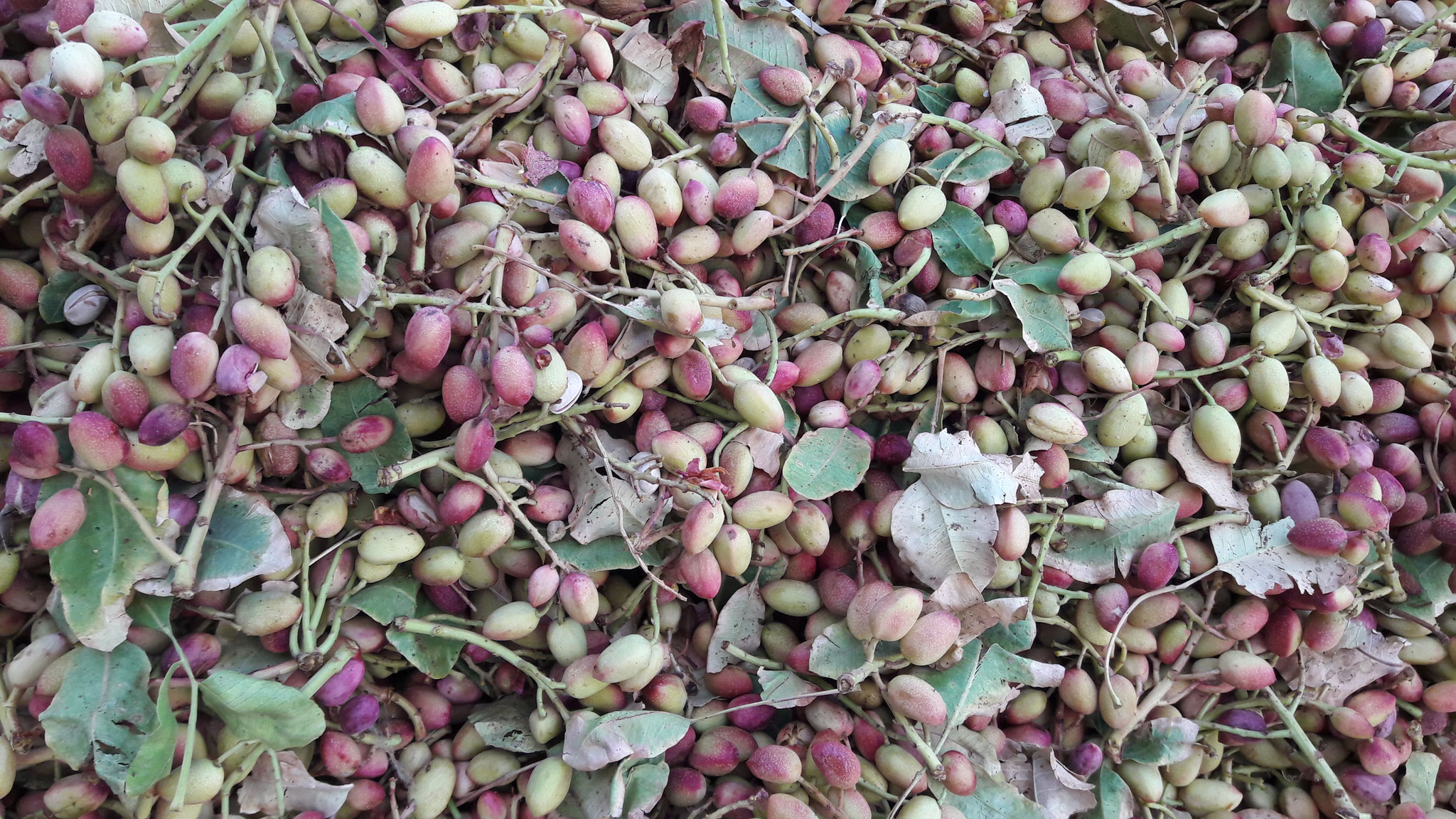 Harvested Unripe Pistachios with Branches
