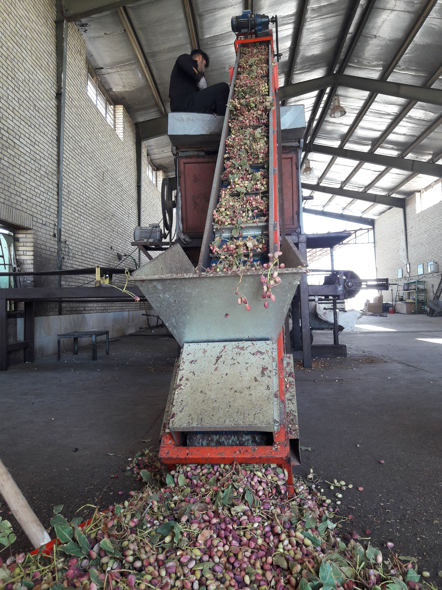 Transfer Fresh Pistachio to Factory for Peeling