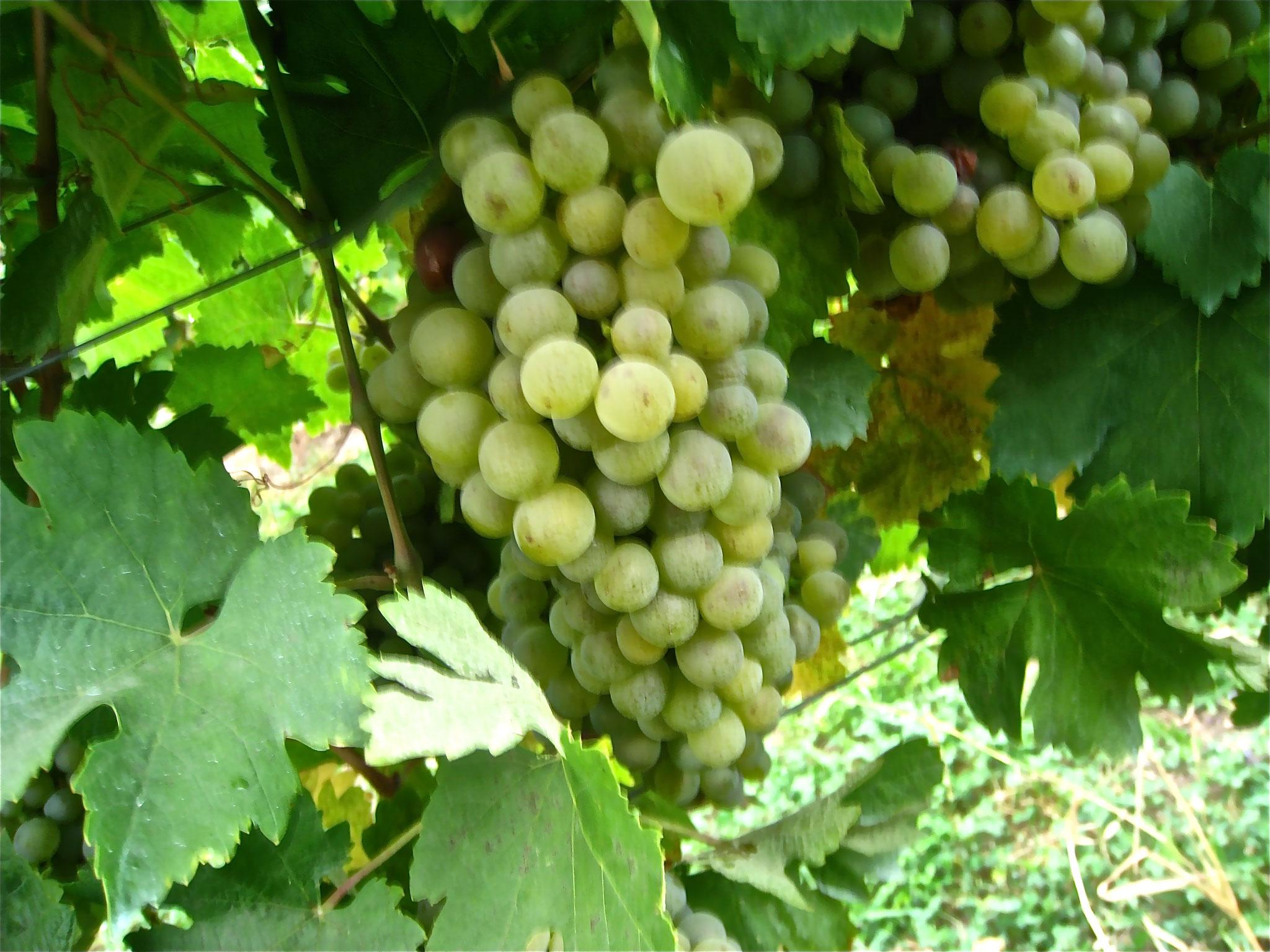 Die östereichische Weißweintraube schlechthin: Grüner Veltliner