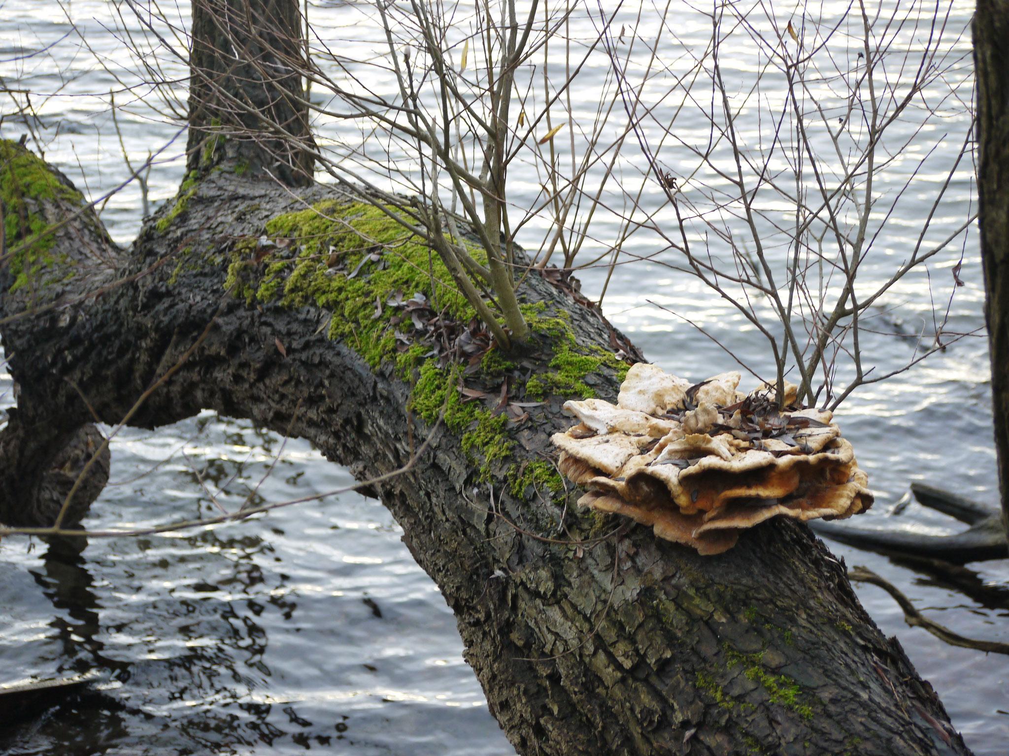 Im Wasser hängende Weide mit Pilz; Foto: Michael Wetzel