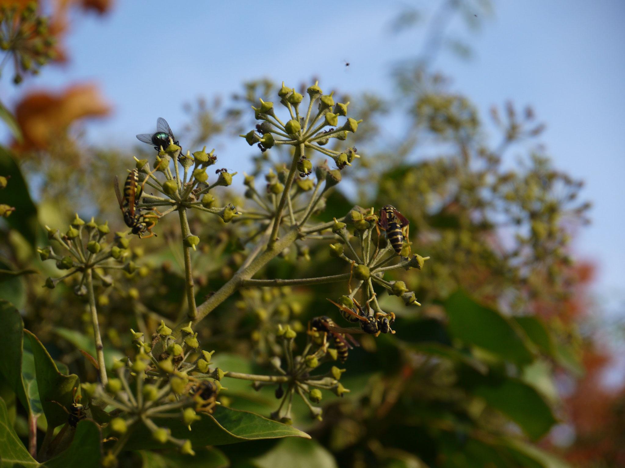 Insekten auf Efeublüten; Foto: Michael Wetzel