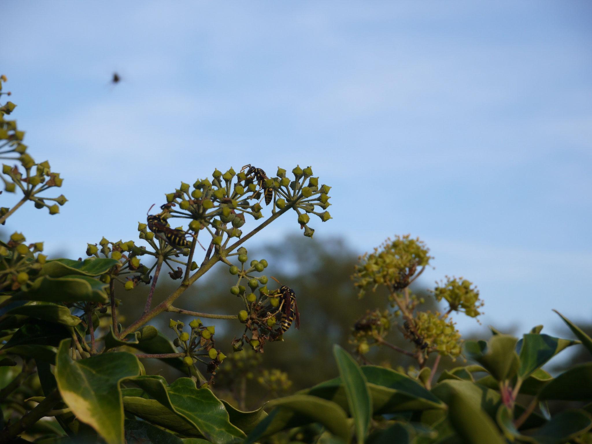 Wespen auf Efeublüten; Foto: Michael Wetzel