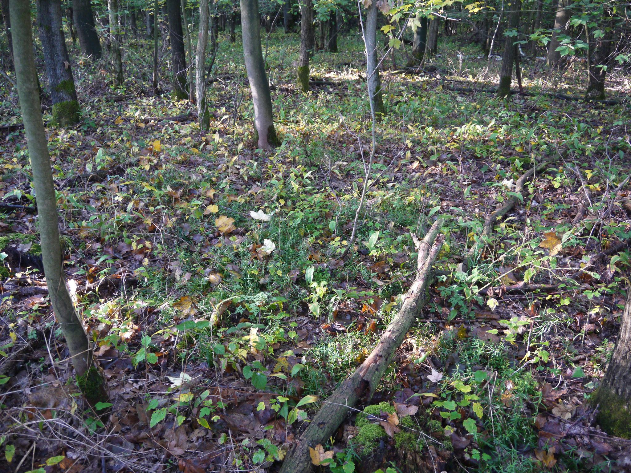 Blick in das Unterholz mit Maiglöckchenbestand; Foto: Michael Wetzel