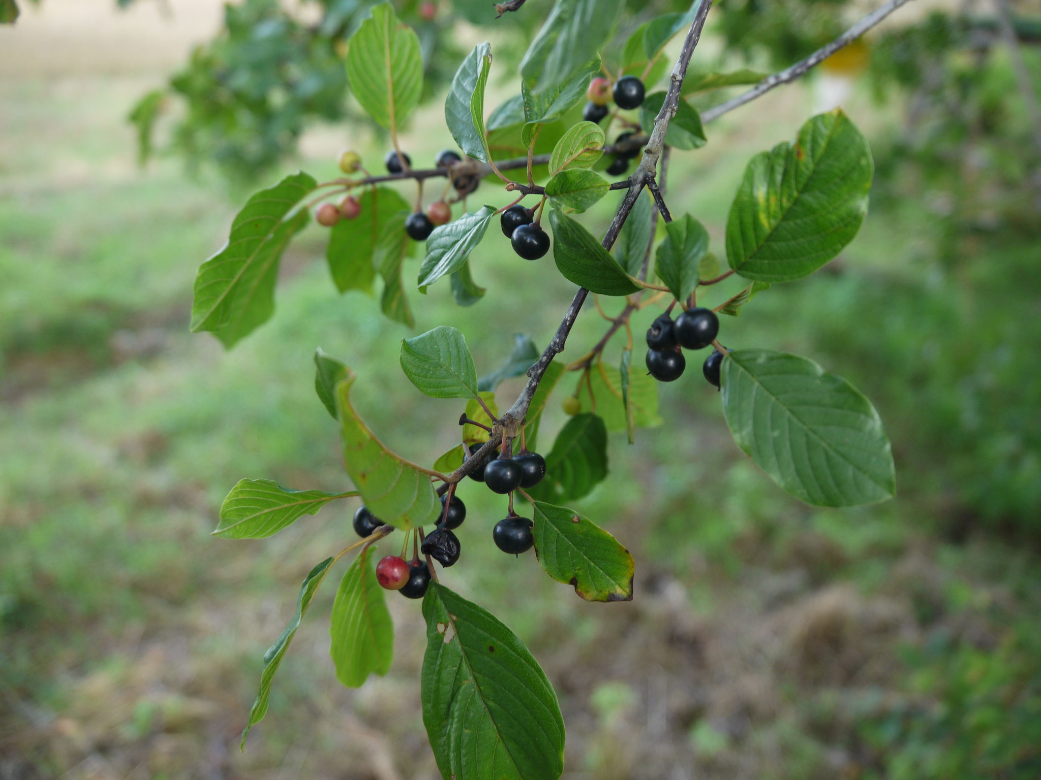 Fruchtender Faulbaum; Foto: Michael Wetzel