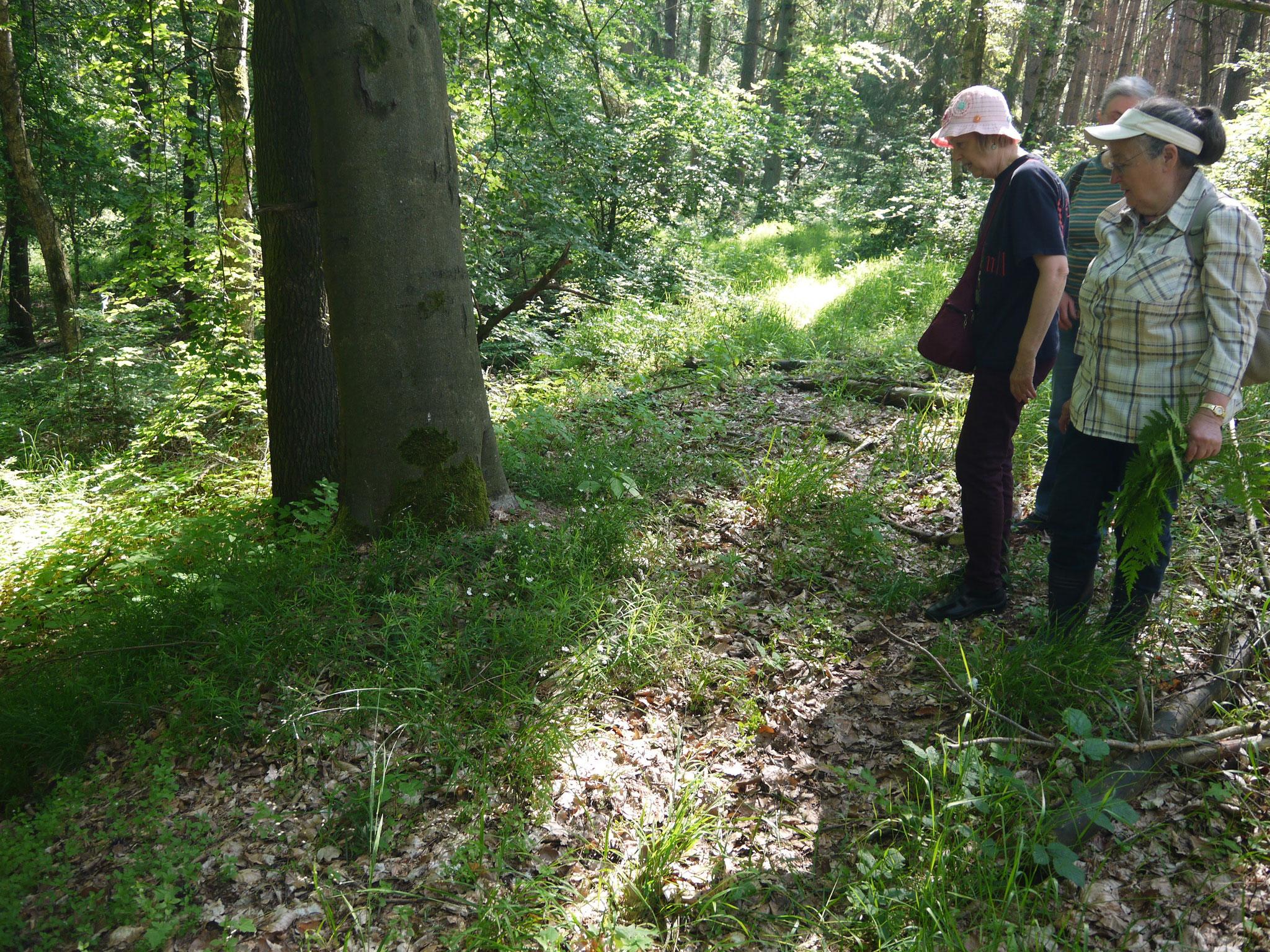 Typische Bodenvegetation im lichten Buchenwald; Foto: Michael Wetzel