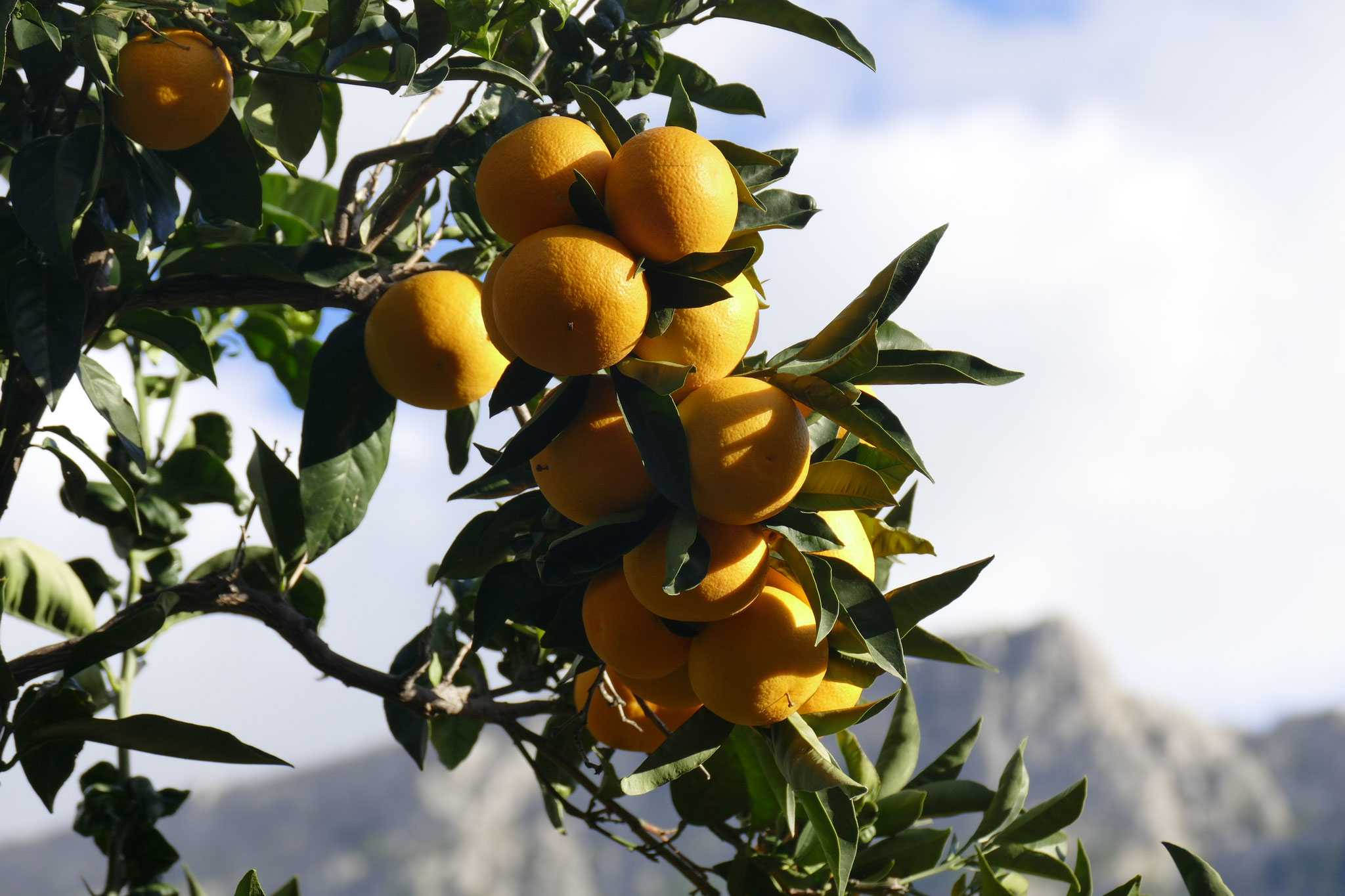 Orangen- und Zitronenbäume gibt es im gesamten Sóller-Tal