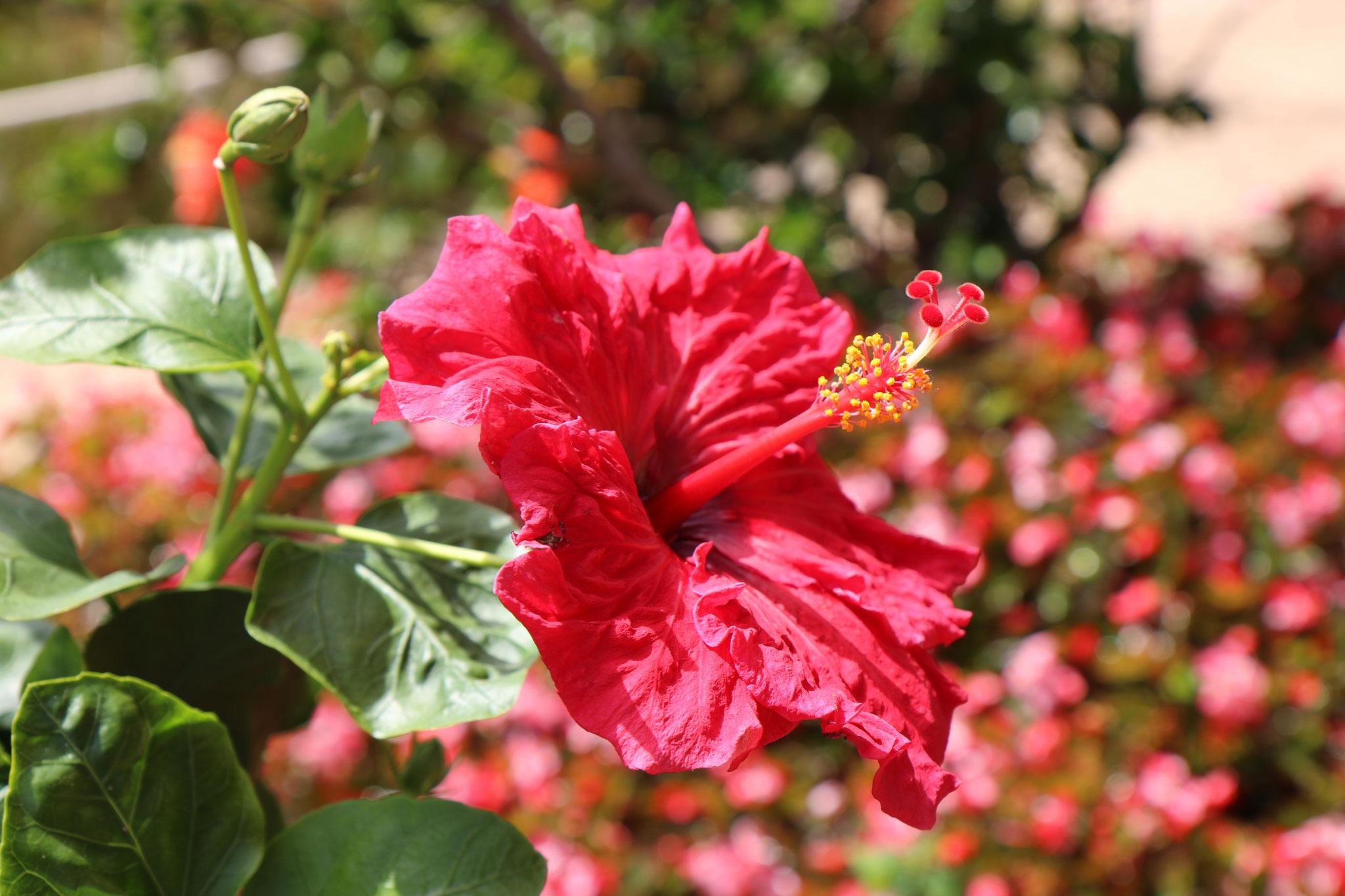 Hibiscus (Hibiscus rosa sinensis, Malvacées)